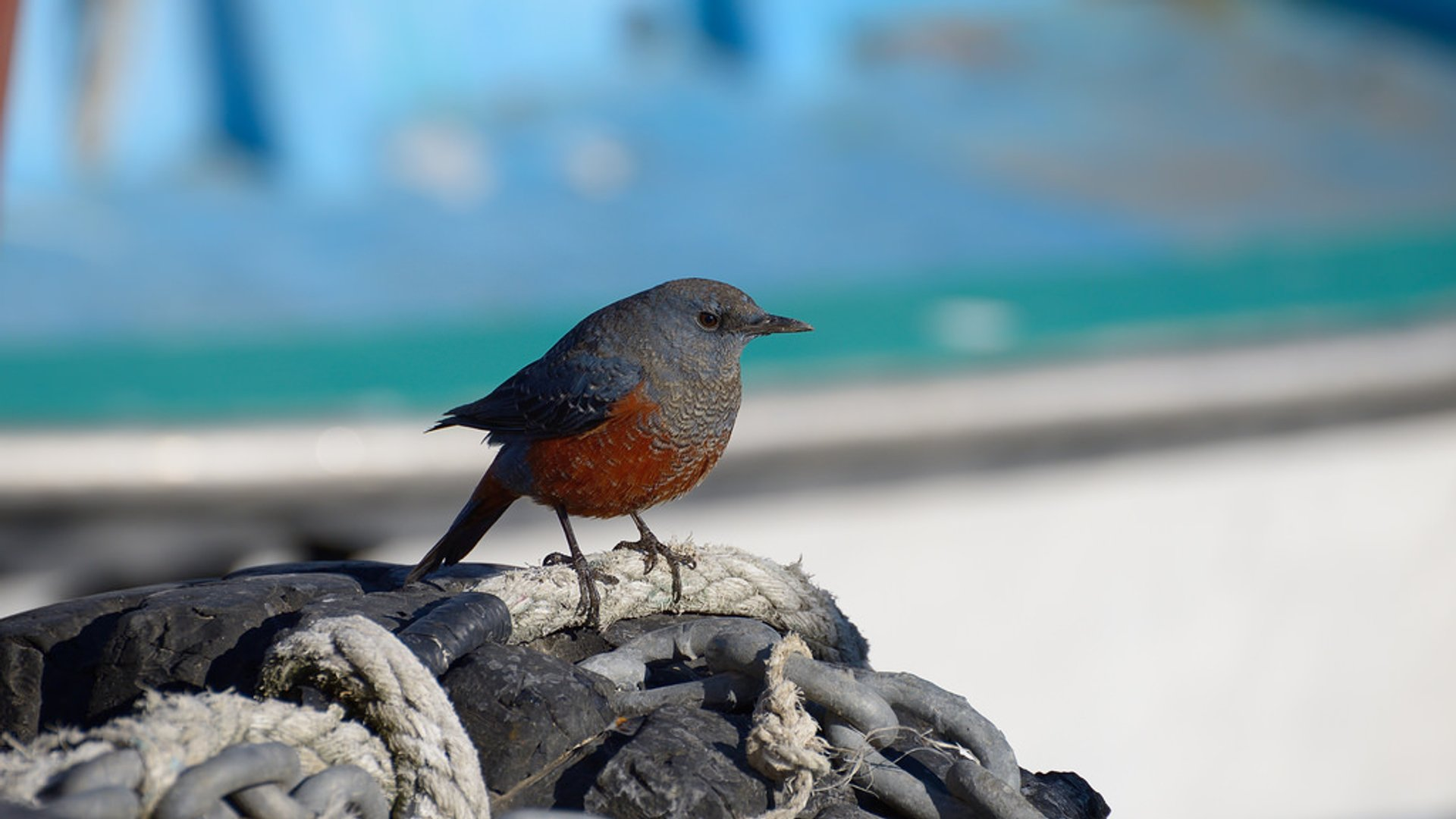 Blue Rock Thrush 2020