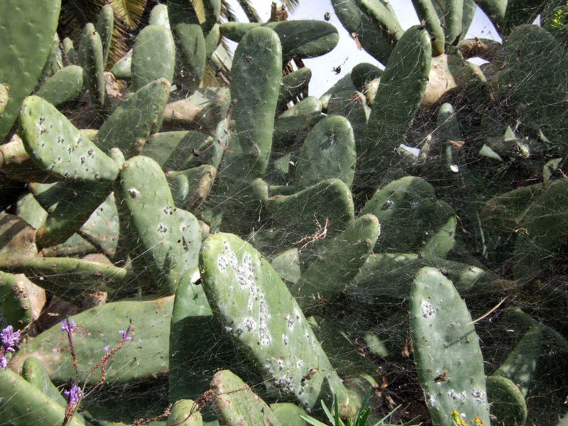 Cochineal on Opuntia cactus, La Palma 2020
