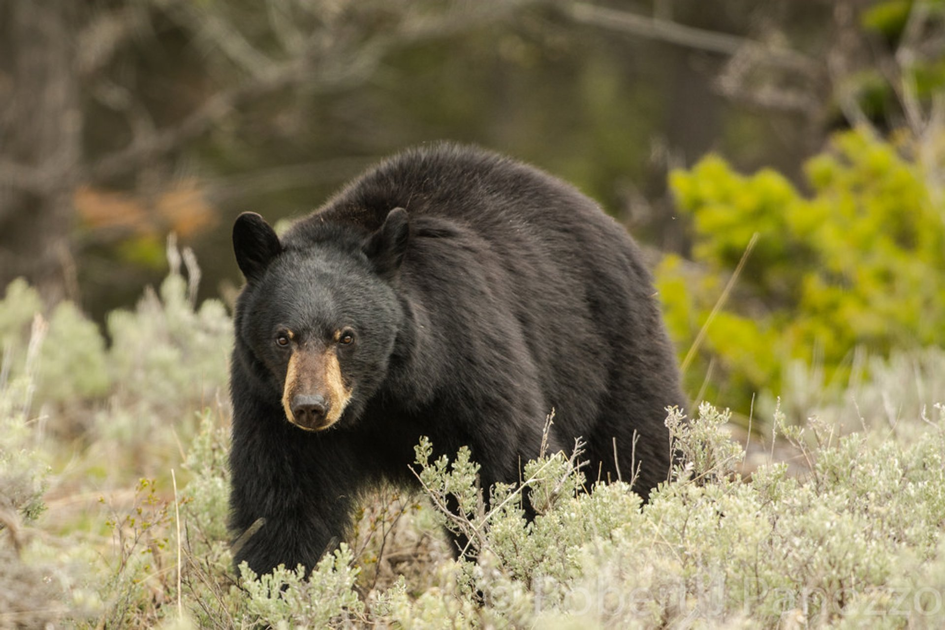 Black Bears in Yellowstone National Park 2020 - Best Time
