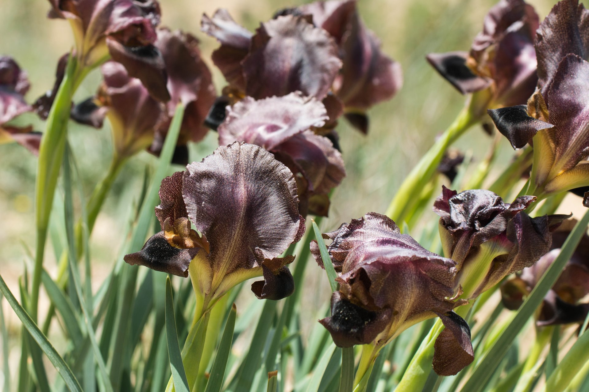 Black Iris in Jordan 2019 - Best Time