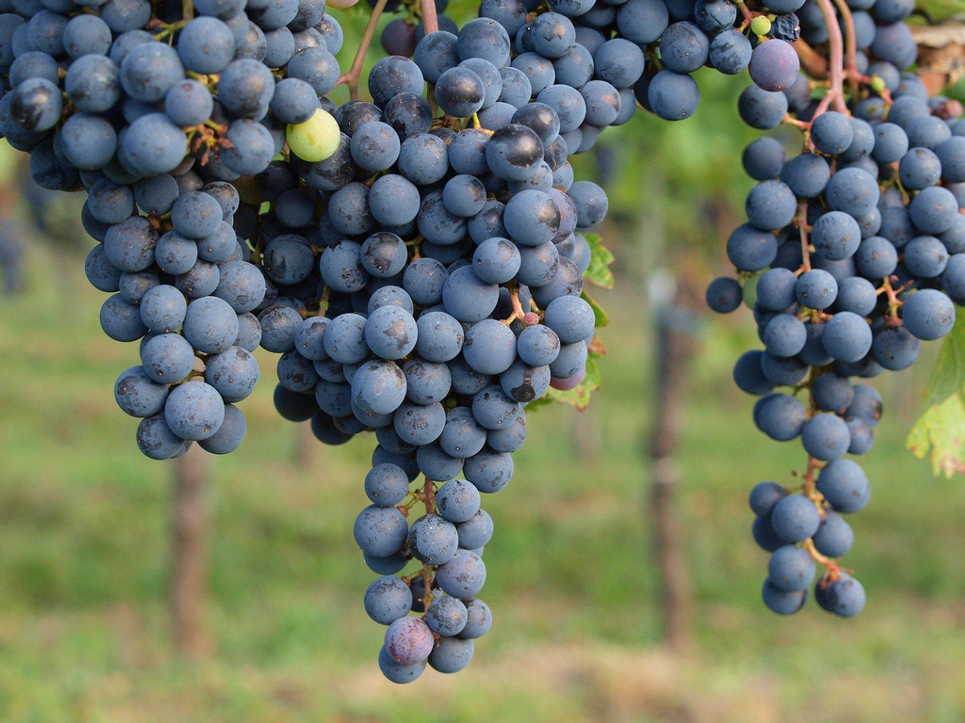 Lower Austria Grape Harvest in Austria - Best Season 2019