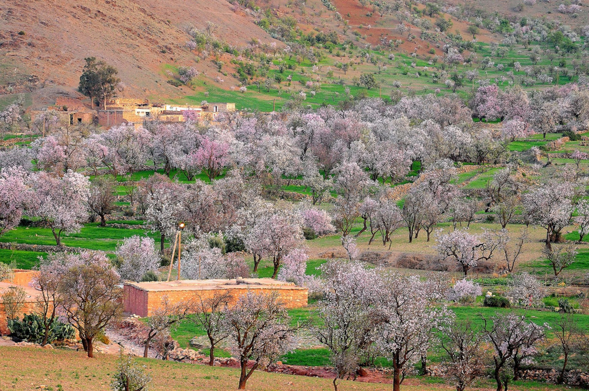 Almond Blossom Season in Morocco 2020 - Best Time
