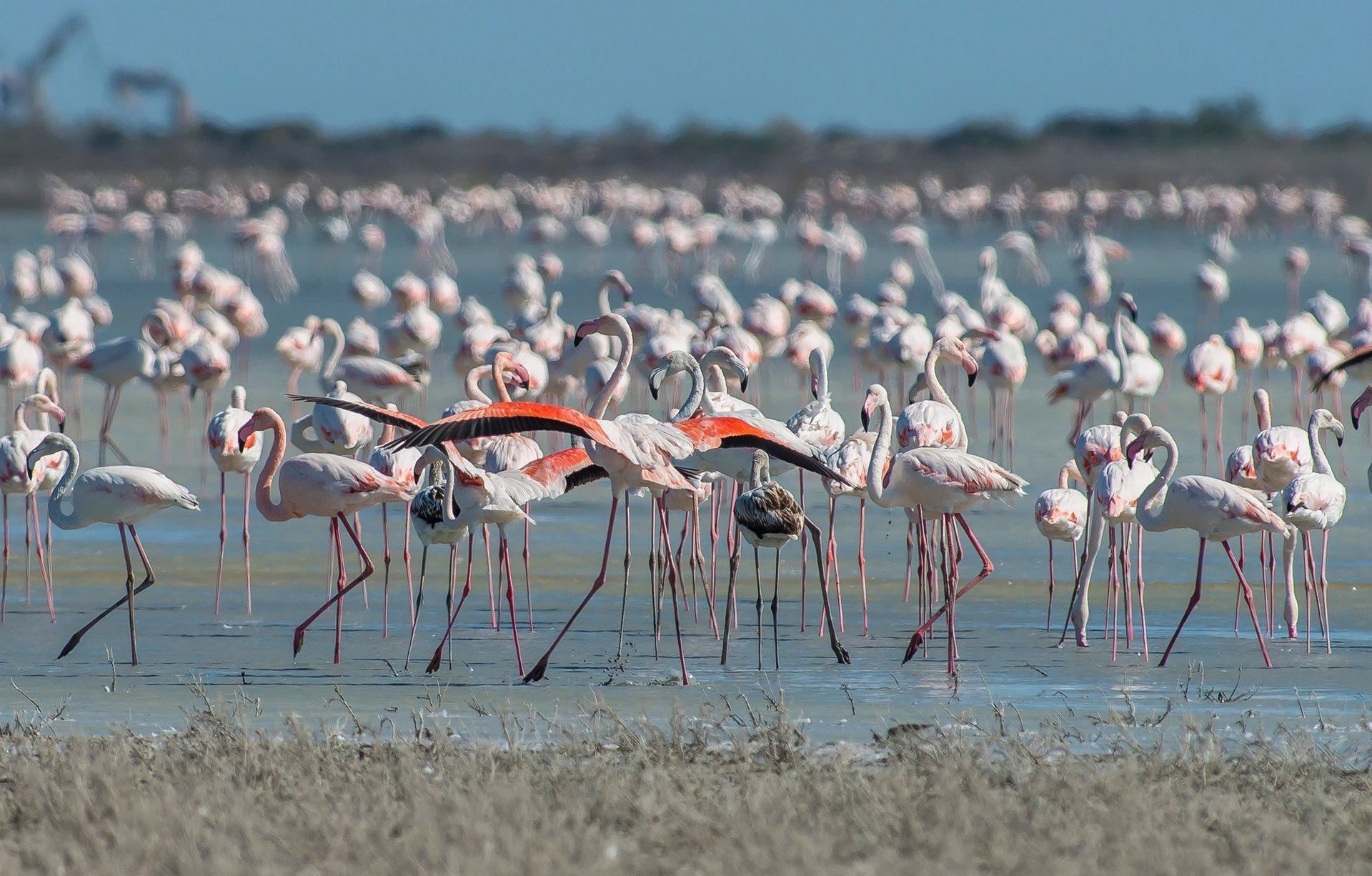 Greater Flamingos in Cyprus 2019 - Best Time