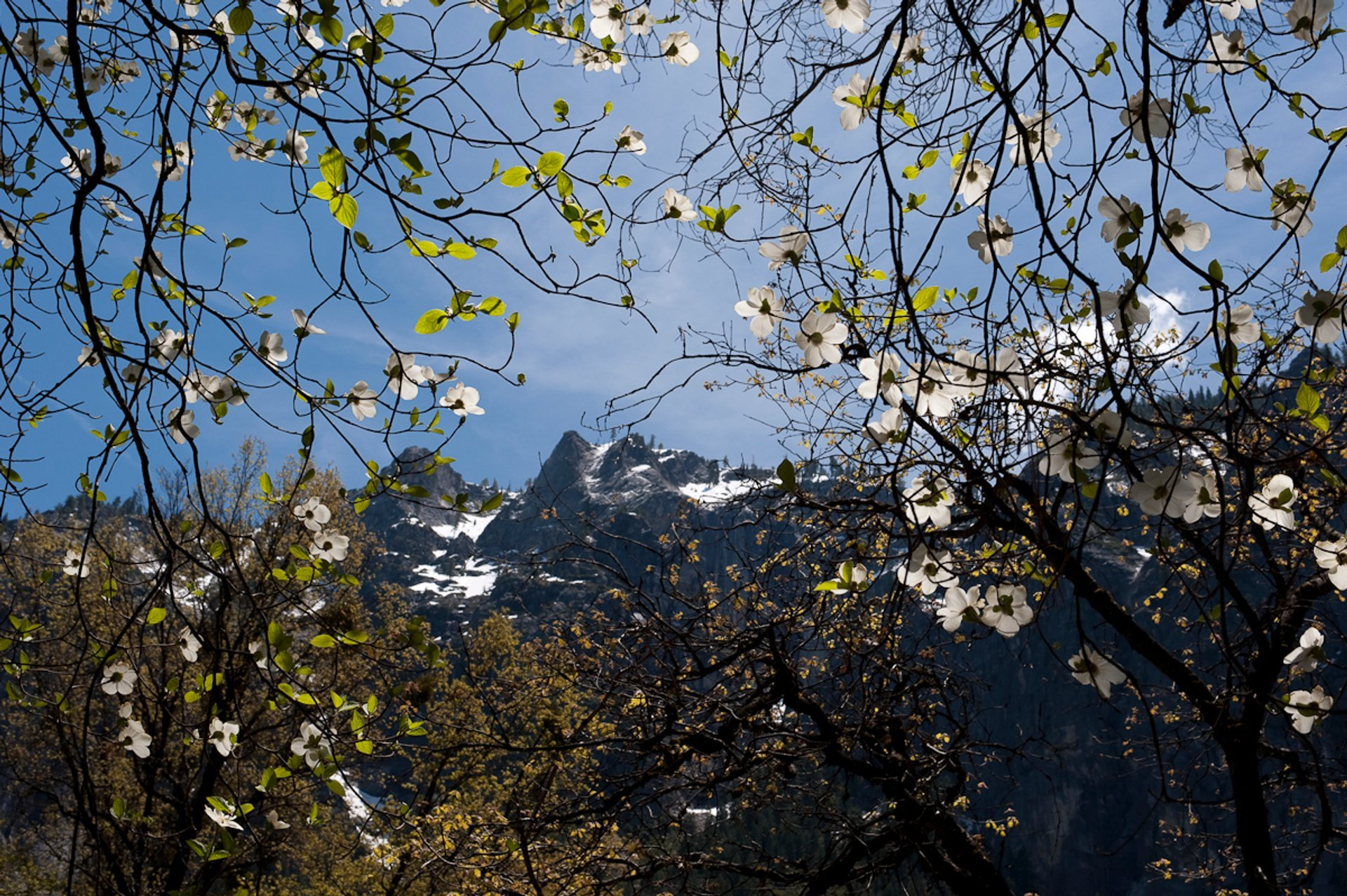 Dogwoods in Bloom in Yosemite - Best Season 2020