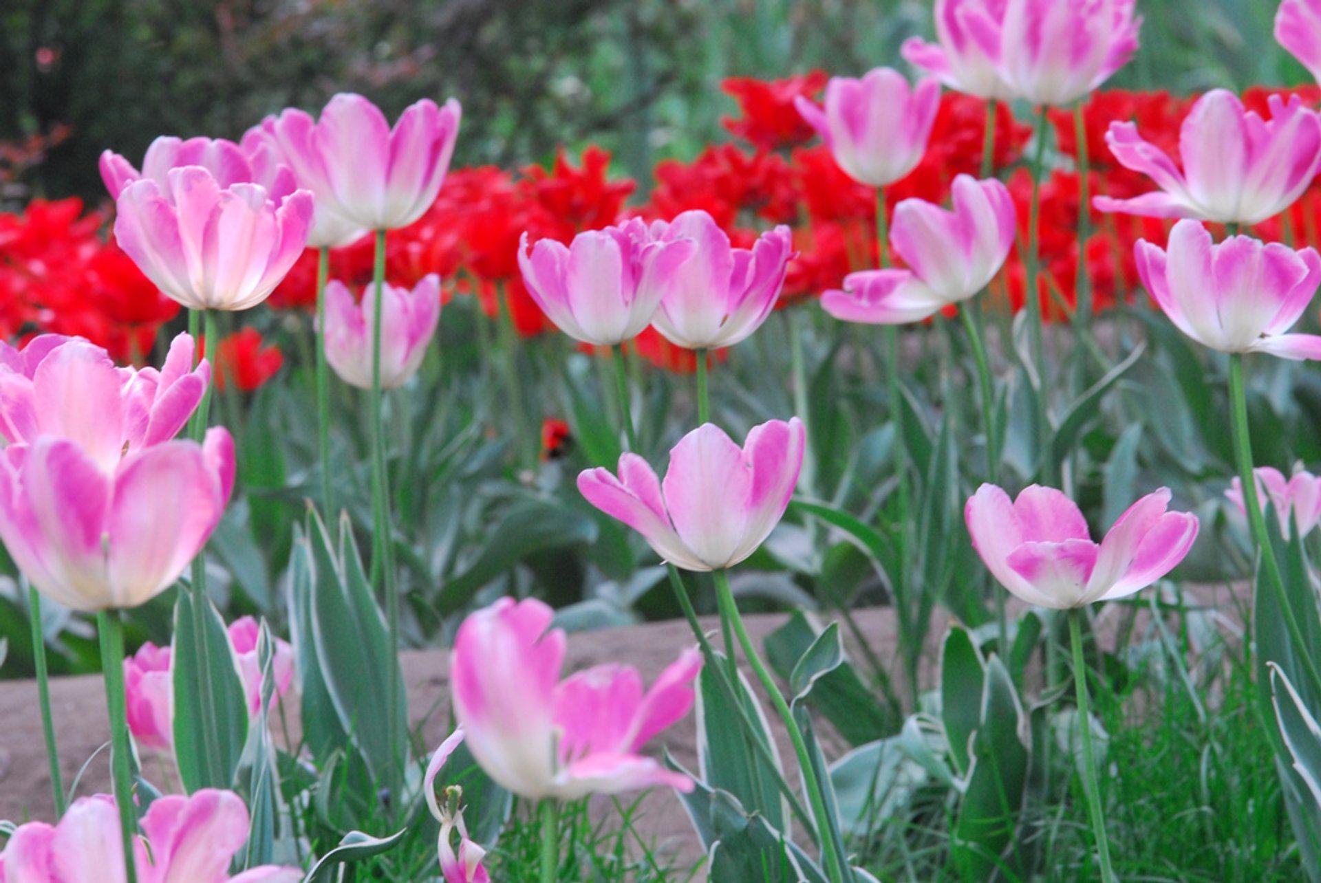 Tulip Blossoms in Beijing - Best Season 2019