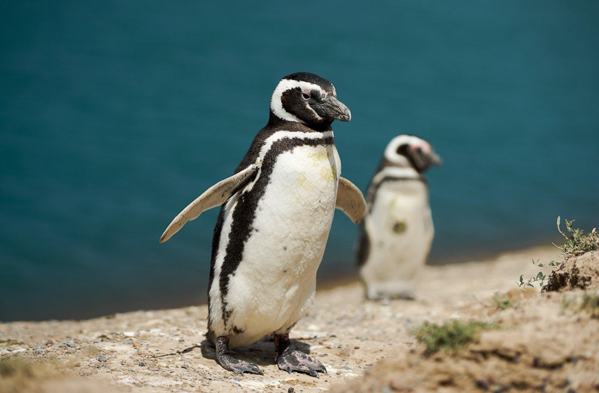 Magellenic penguin, Punta Tombo 2020