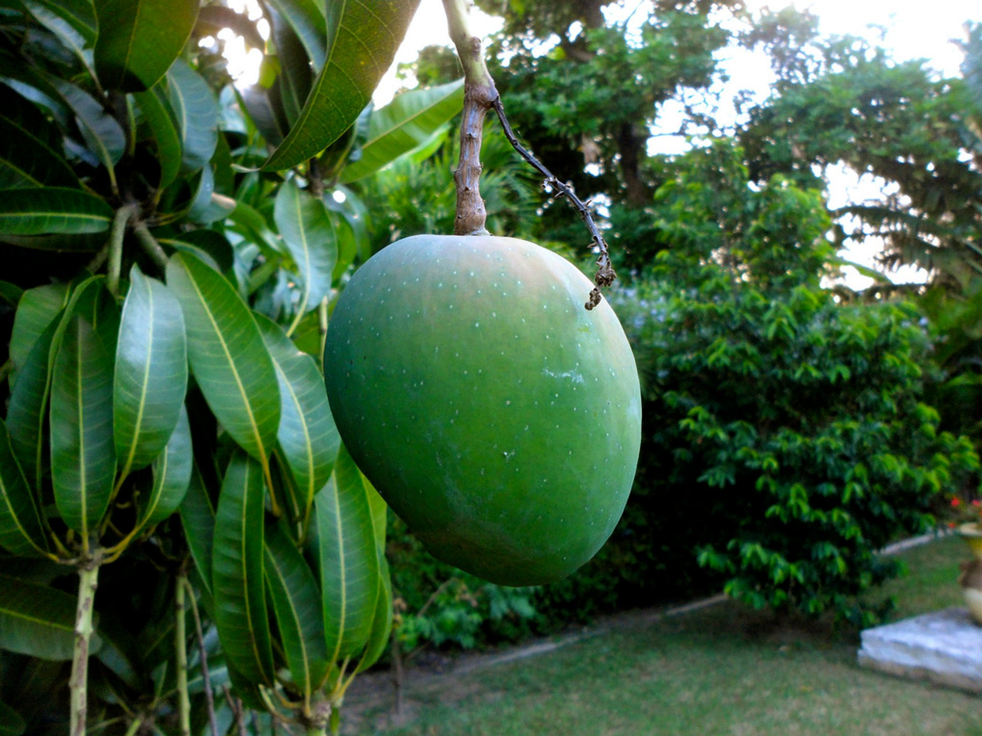 Mango Season  in Jamaica - Best Season 2020