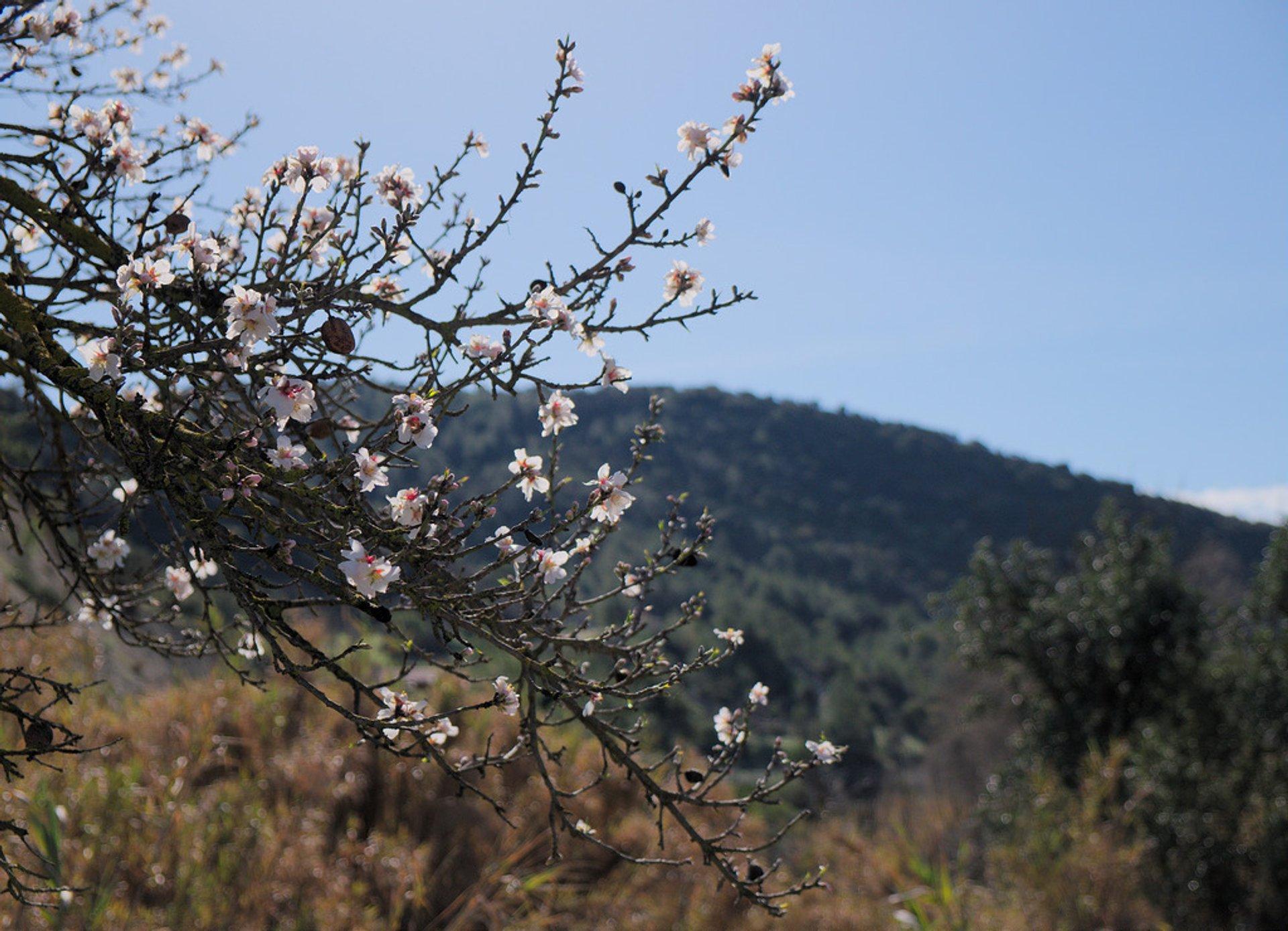 Almond bloom 2020