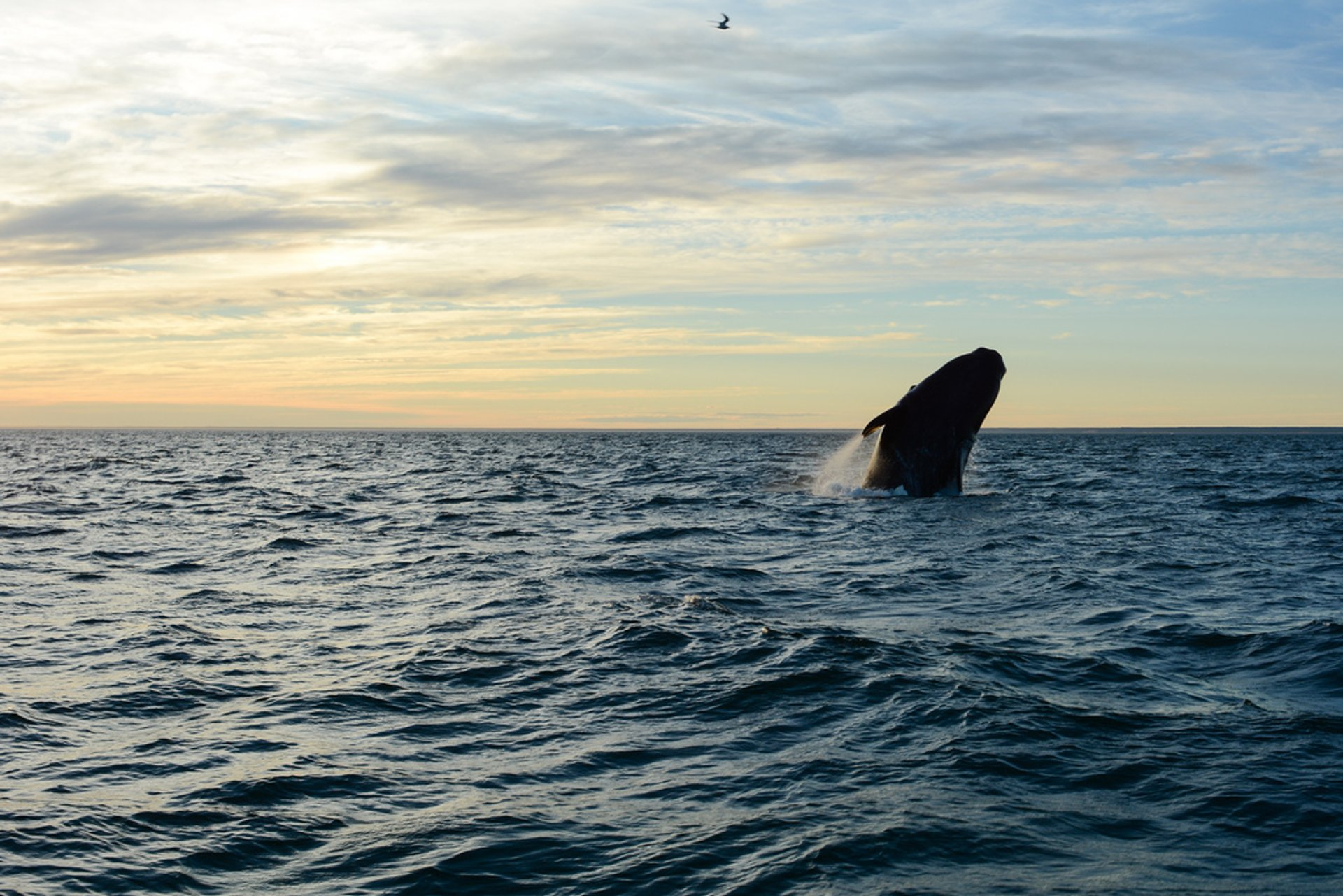 Best time for Southern Right Whale Watching in Argentina 2020
