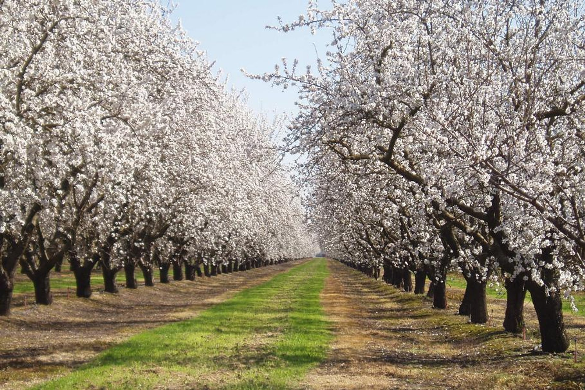 Almond blossoms near Vernalis, along 132 west of Modesto 2020