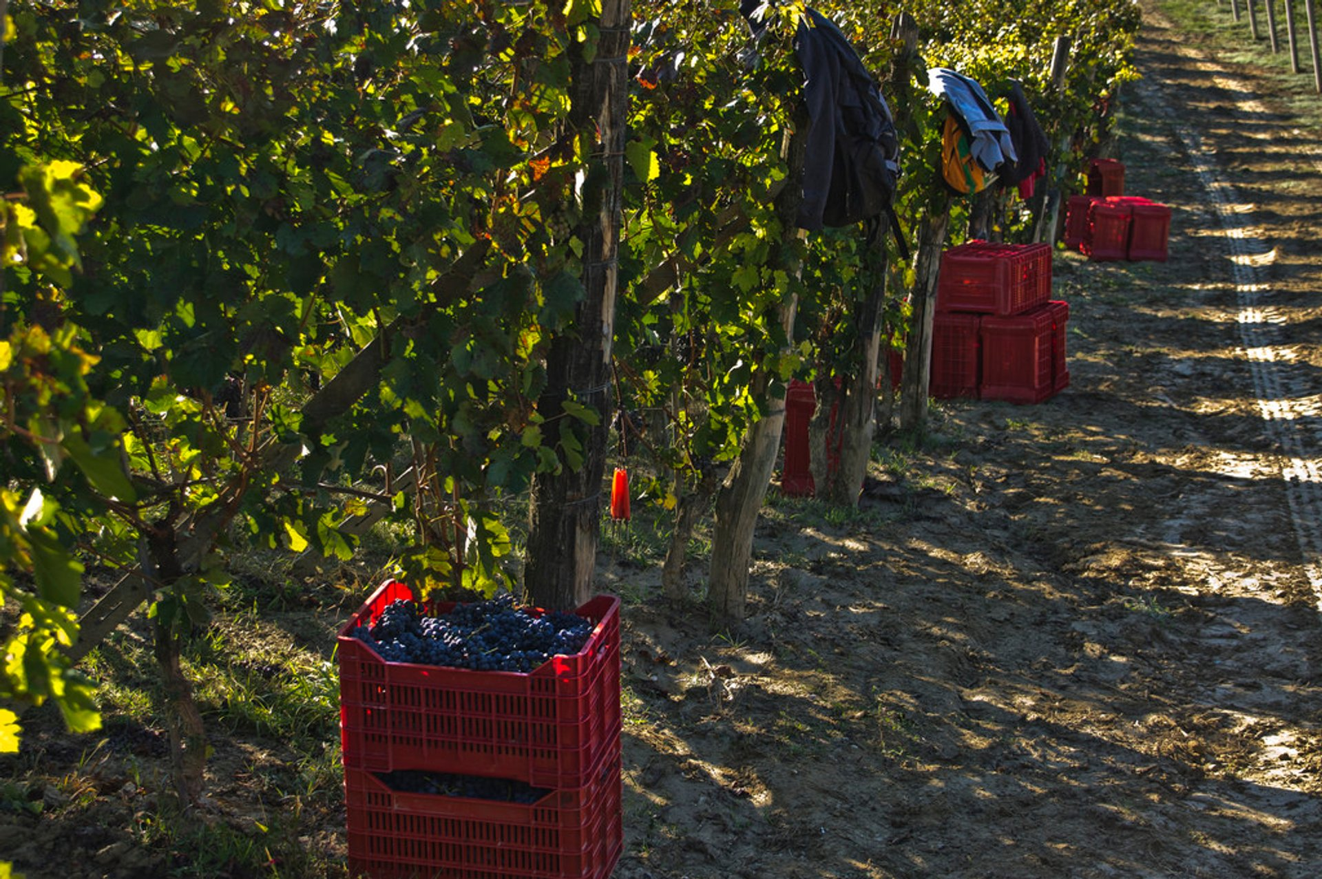 Vendemmia or Grape Harvest in Tuscany - Best Season 2019