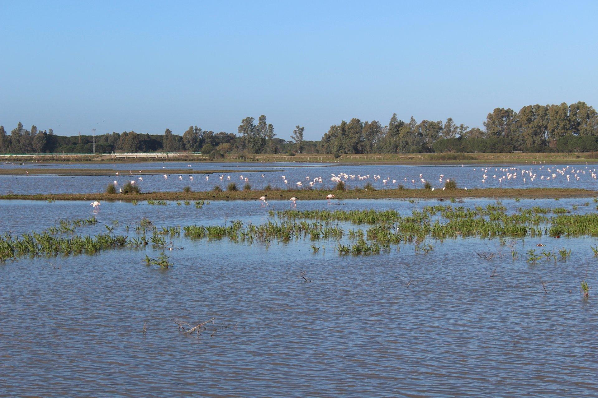 Flamingos in Doñana National Park 2020