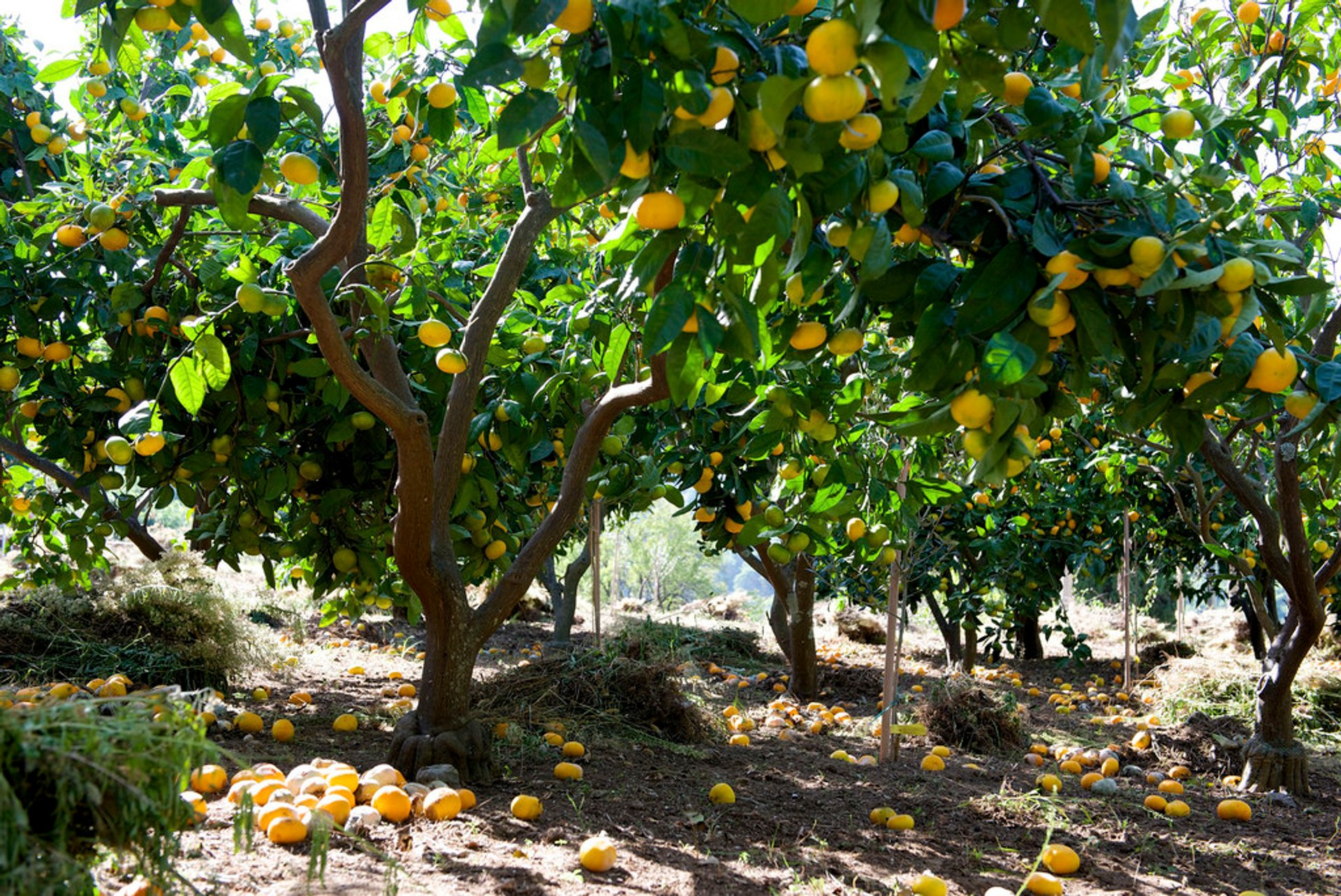 Tangerine Harvesting Season in Croatia 2019 - Best Time