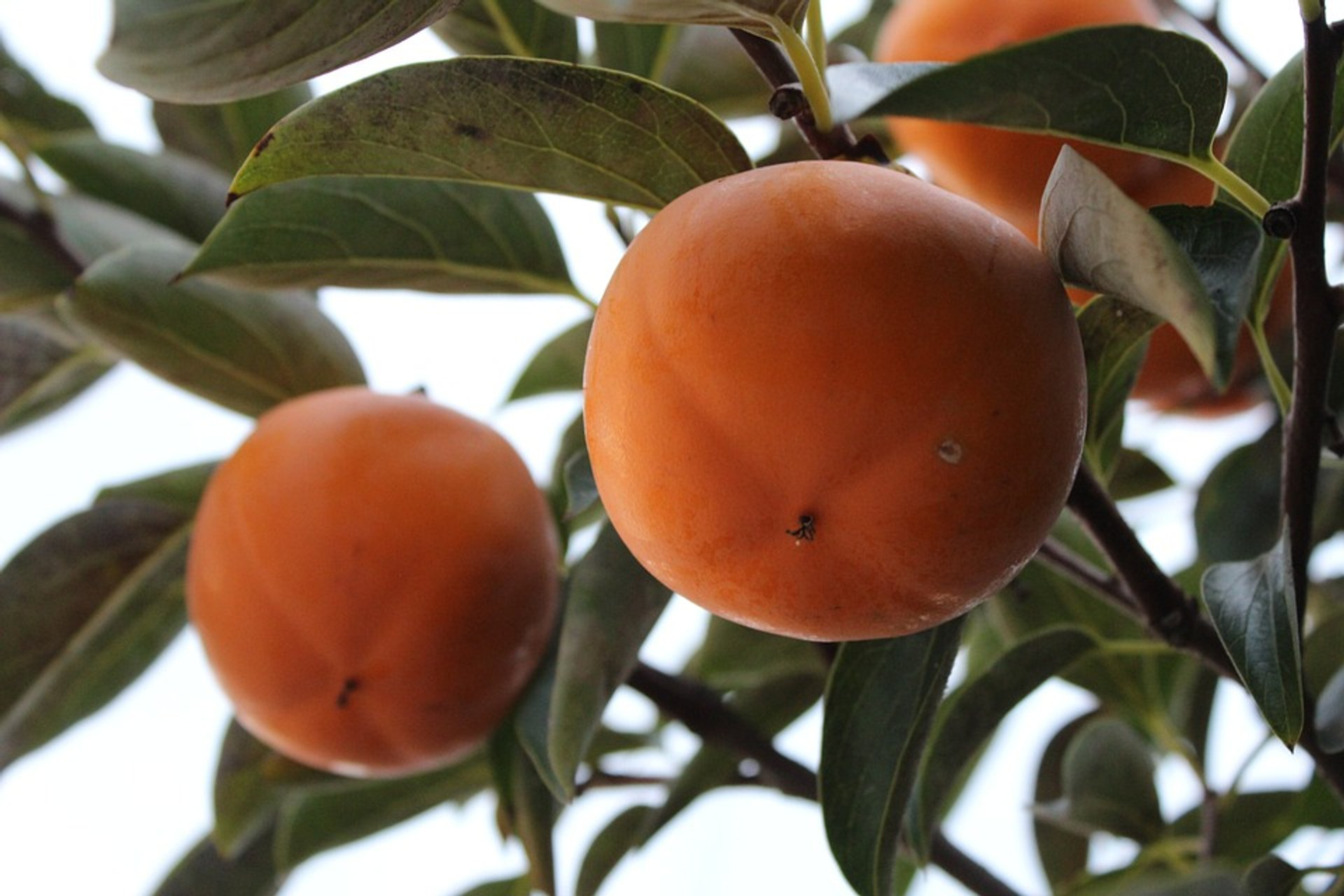 Persimmon Harvest and Gotgam Making in South Korea - Best Season 2019