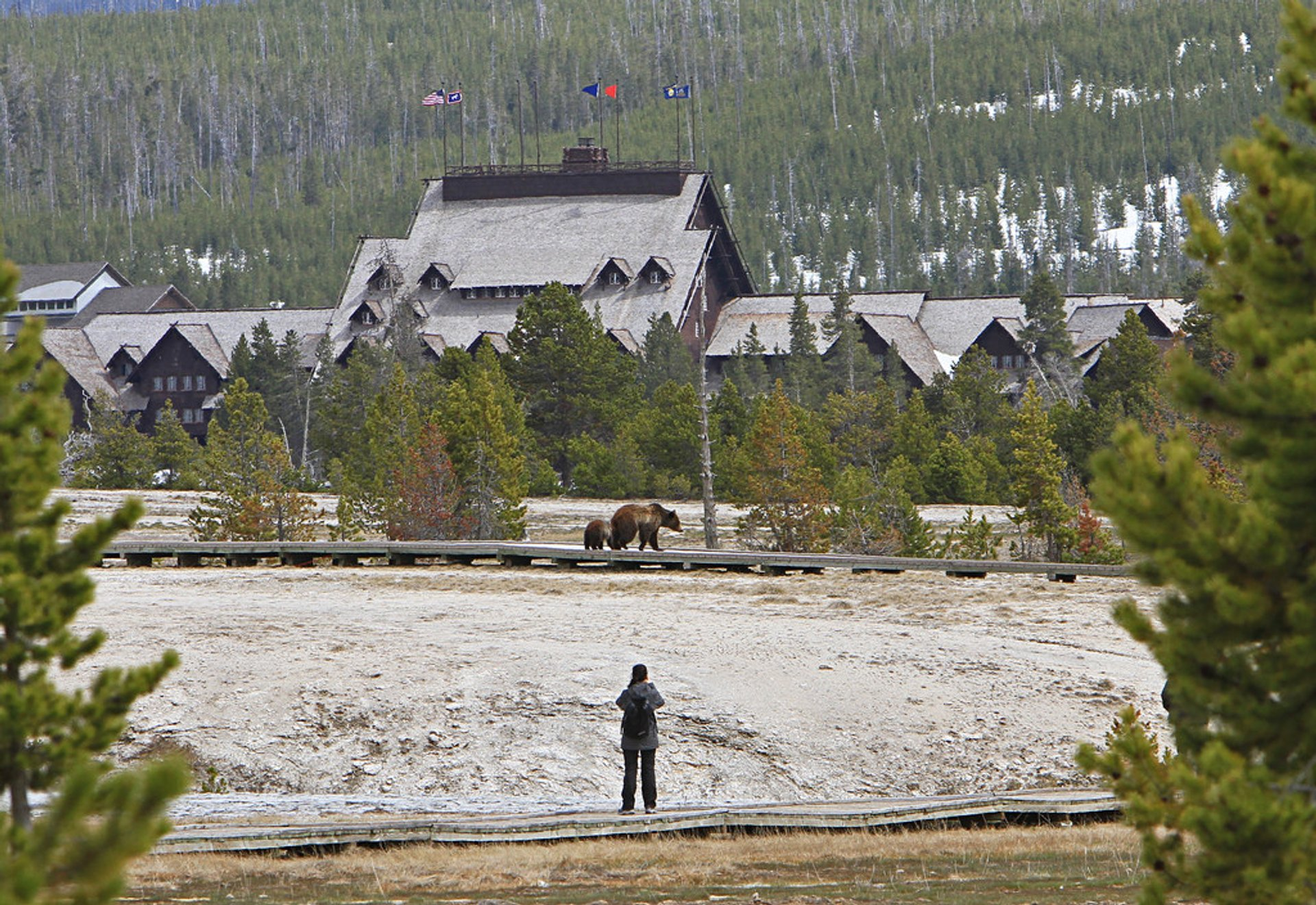Grizzly sow and yearling on boardwalk in Upper Geyser Basin 2019