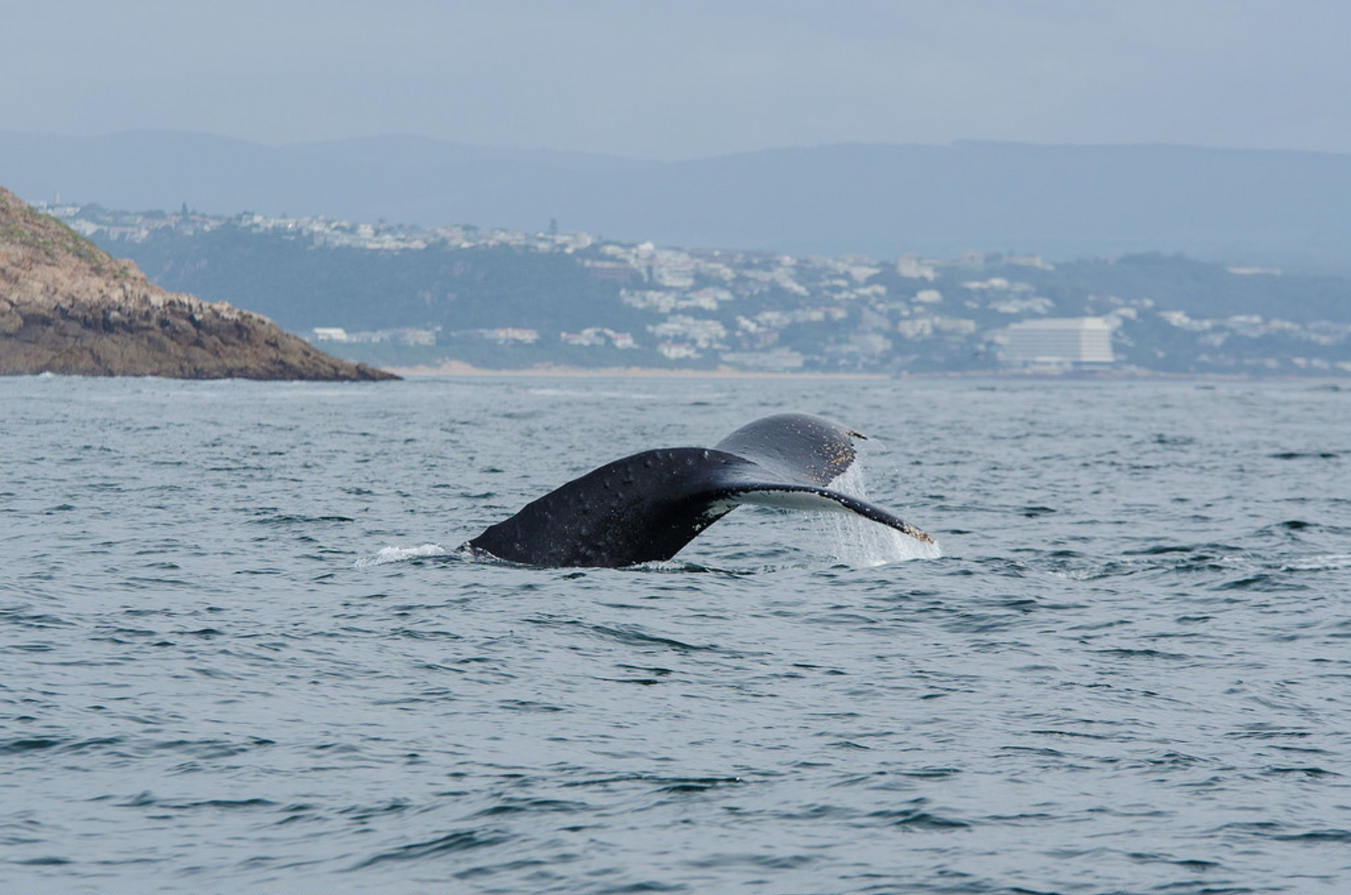Humpback whale in Plettenberg Bay 2019