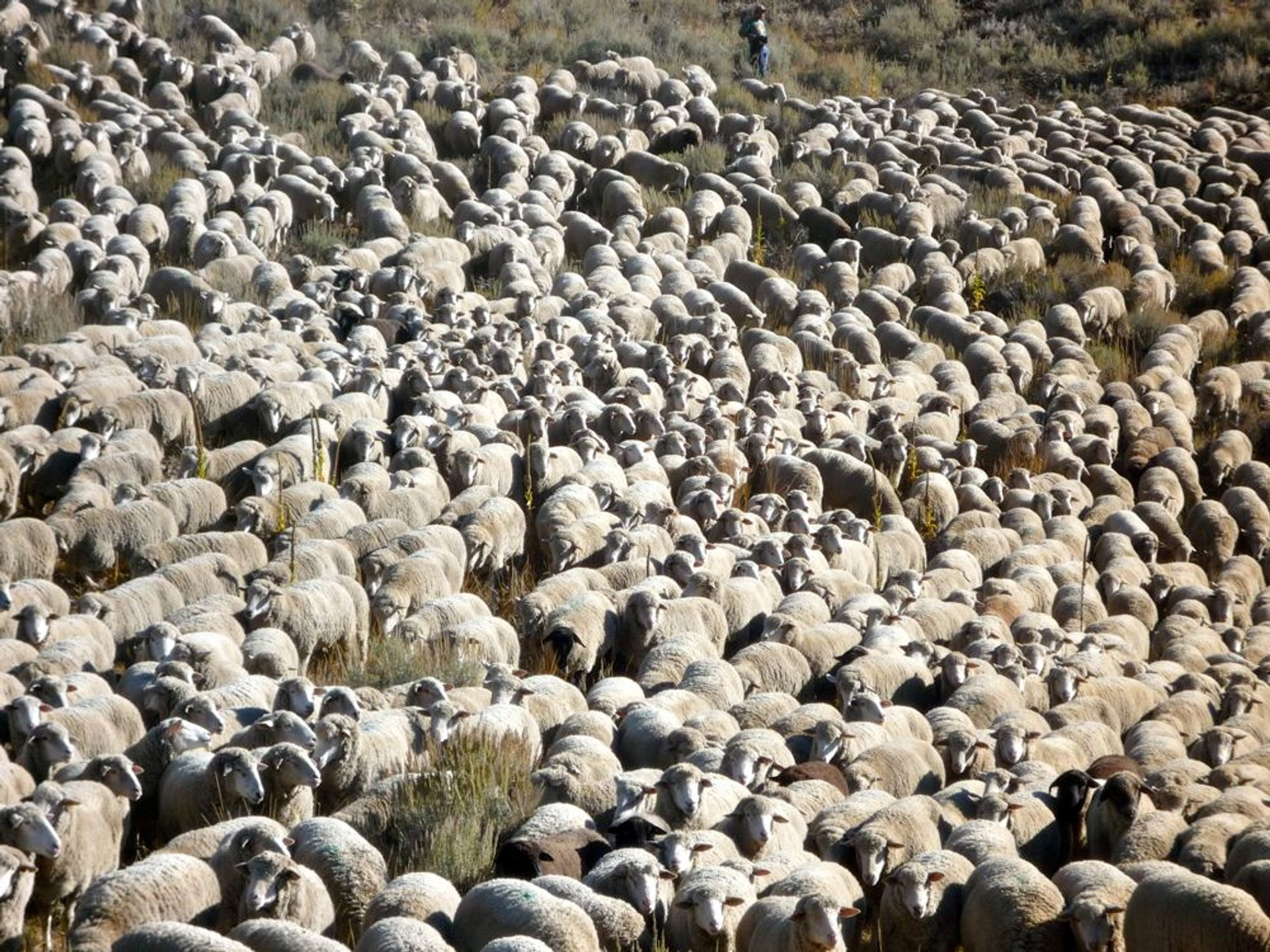 Trailing of the Sheep Festival in Idaho 2020 - Best Time