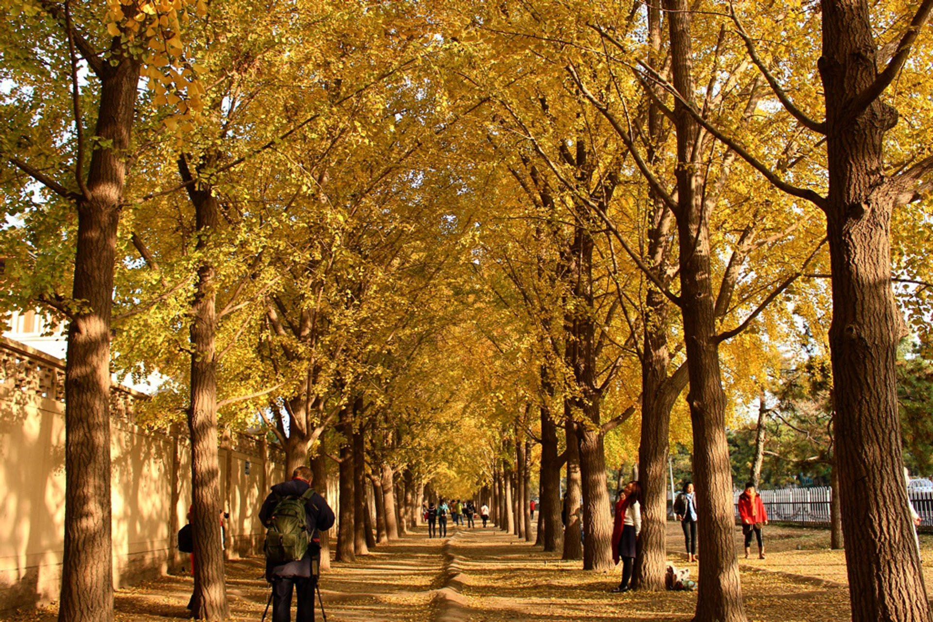Ginkgo Avenues in Beijing 2019 - Best Time