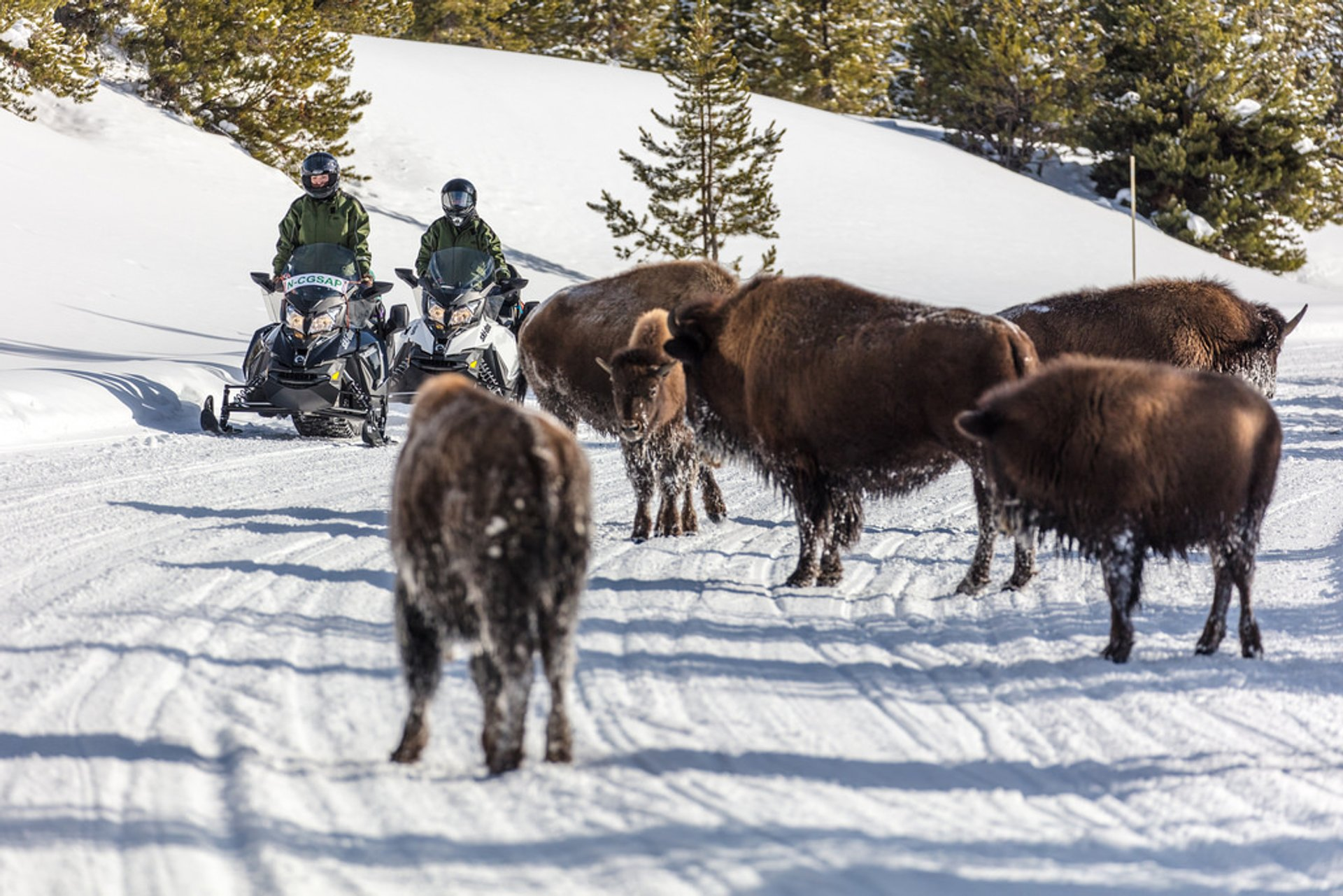 Snowmobiles passing bison on the road