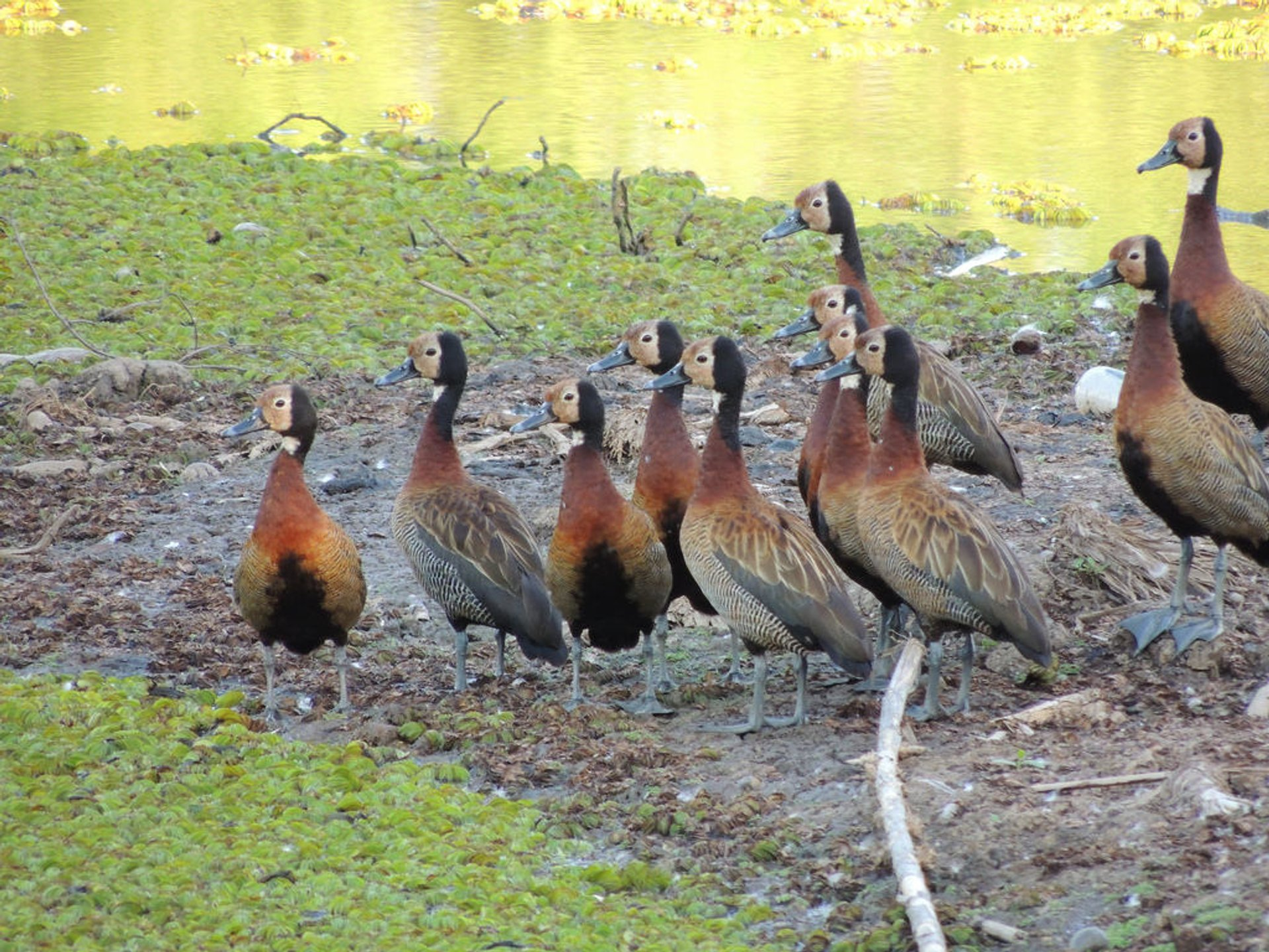 White-faced Whistling Ducks (Costanera Sur Nature Reserve, Buenos Aires)