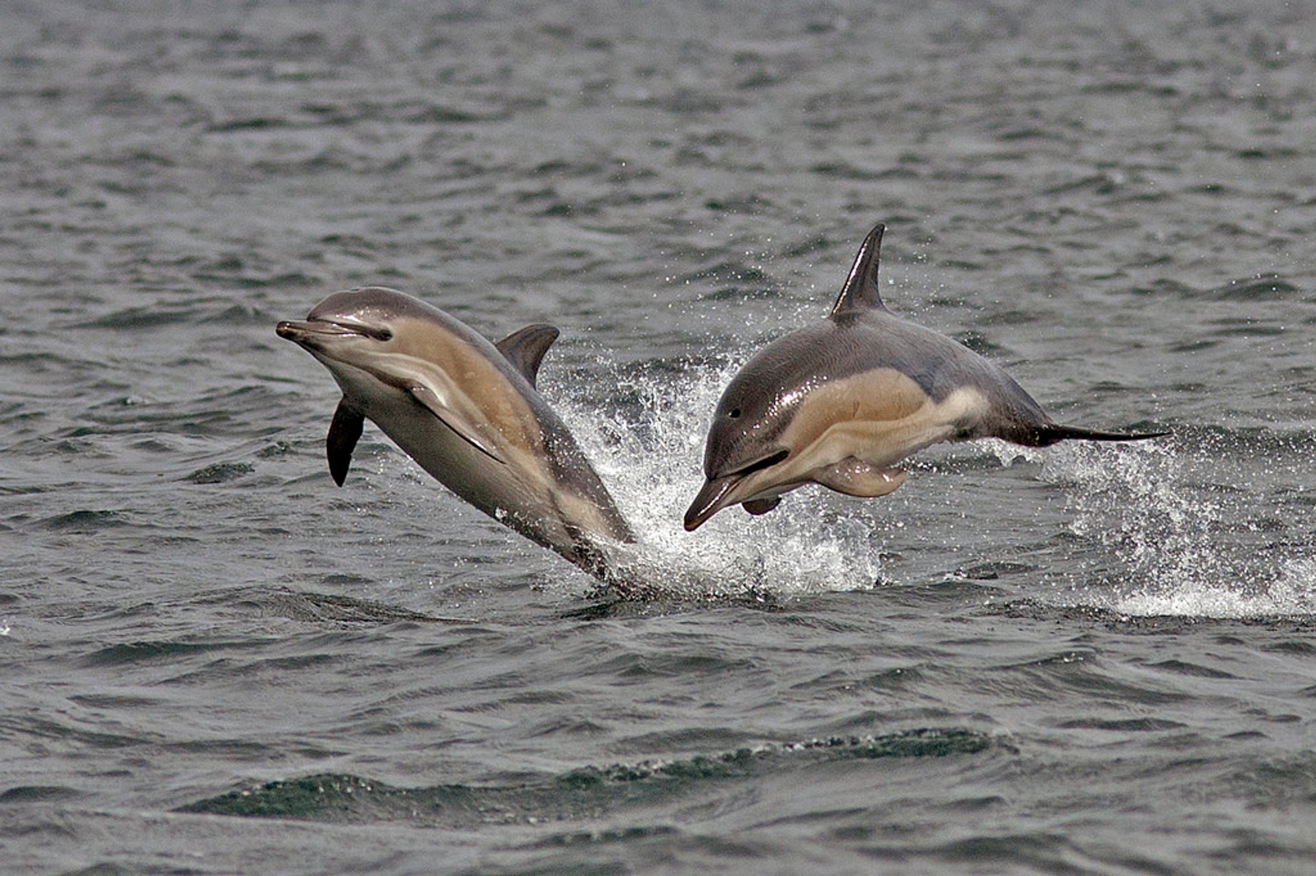 Best time for Common Dolphin in Ireland 2020