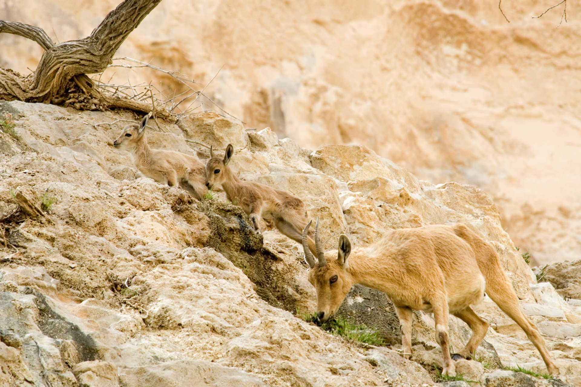 Best time for Nubian Ibex Baby Mountain Goats in Israel 2020