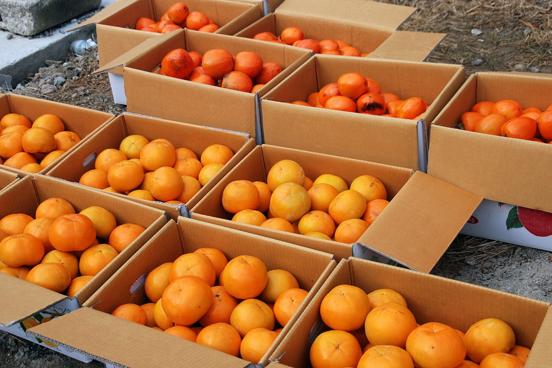 Best time for Persimmon Harvest and Gotgam Making in South Korea 2019