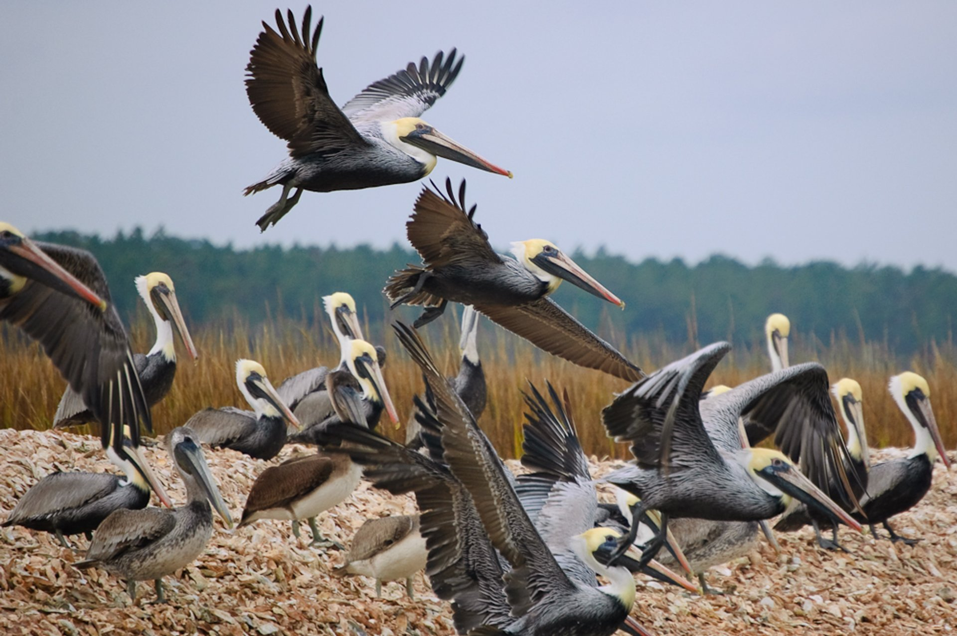 Brown pelicans 2020