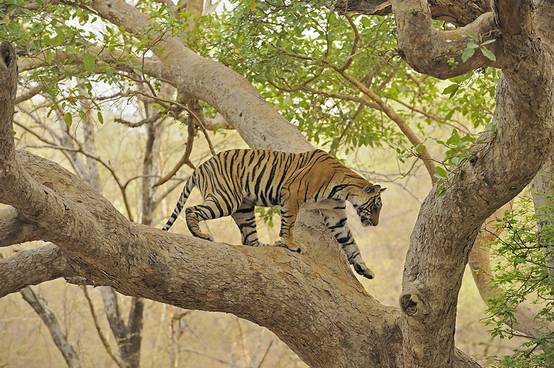 Tiger Safari in Ranthambore National Park in Taj Mahal and Agra  - Best Season