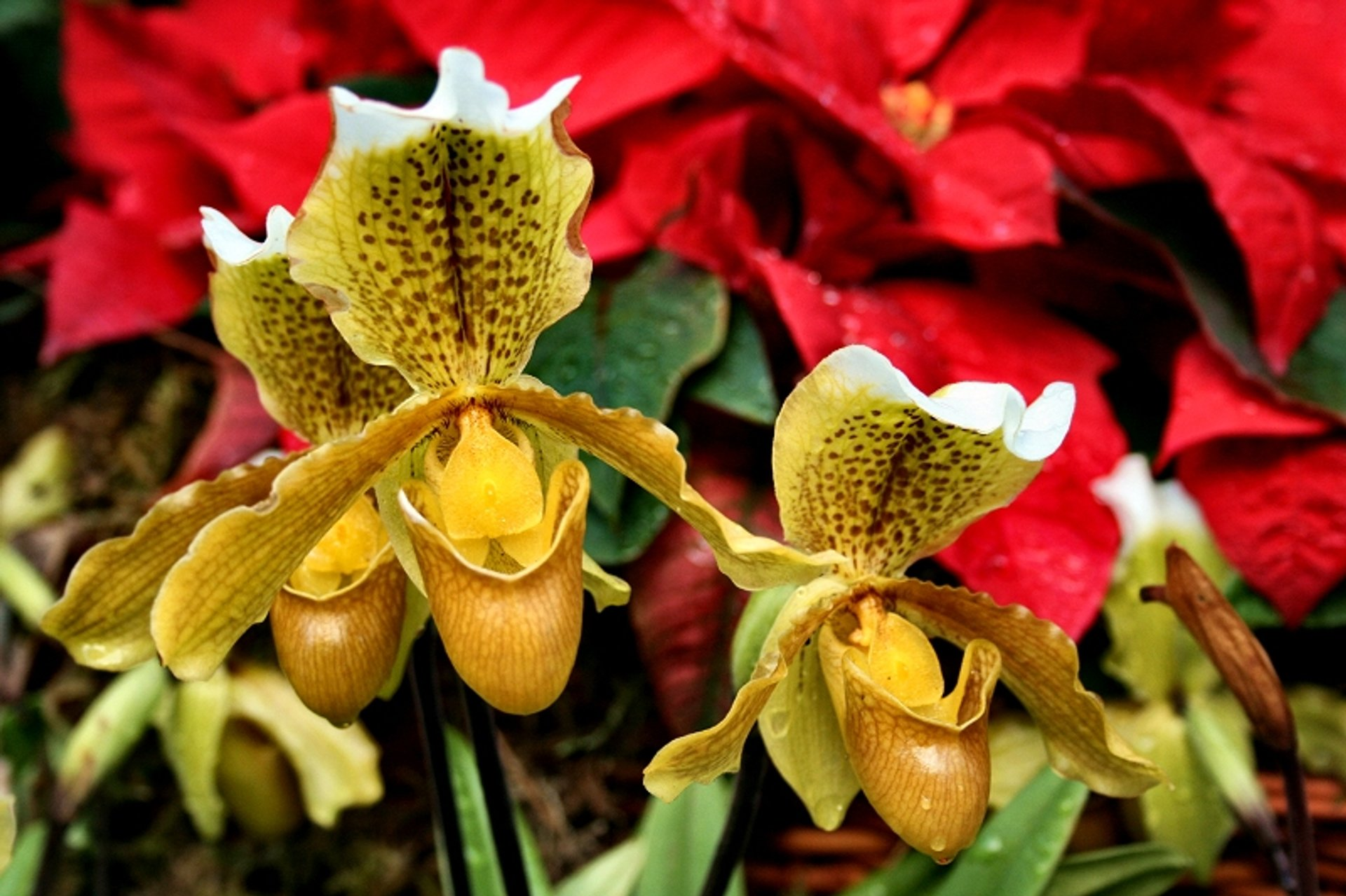 """Lady Slipper"" Orchid for Christmas in Madeira - Best Season 2020"