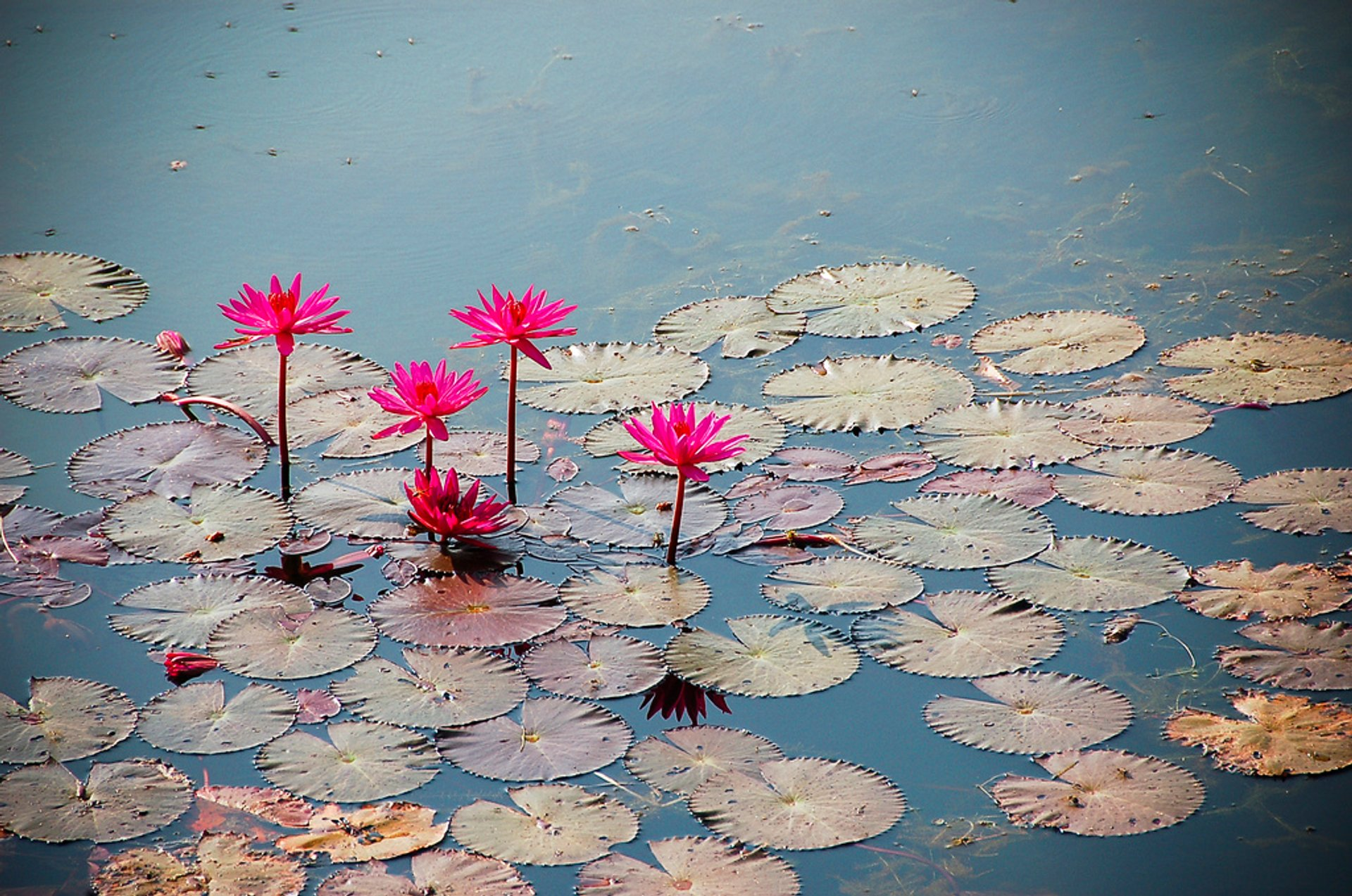 Best time for Lotus Blooming in Cambodia 2019
