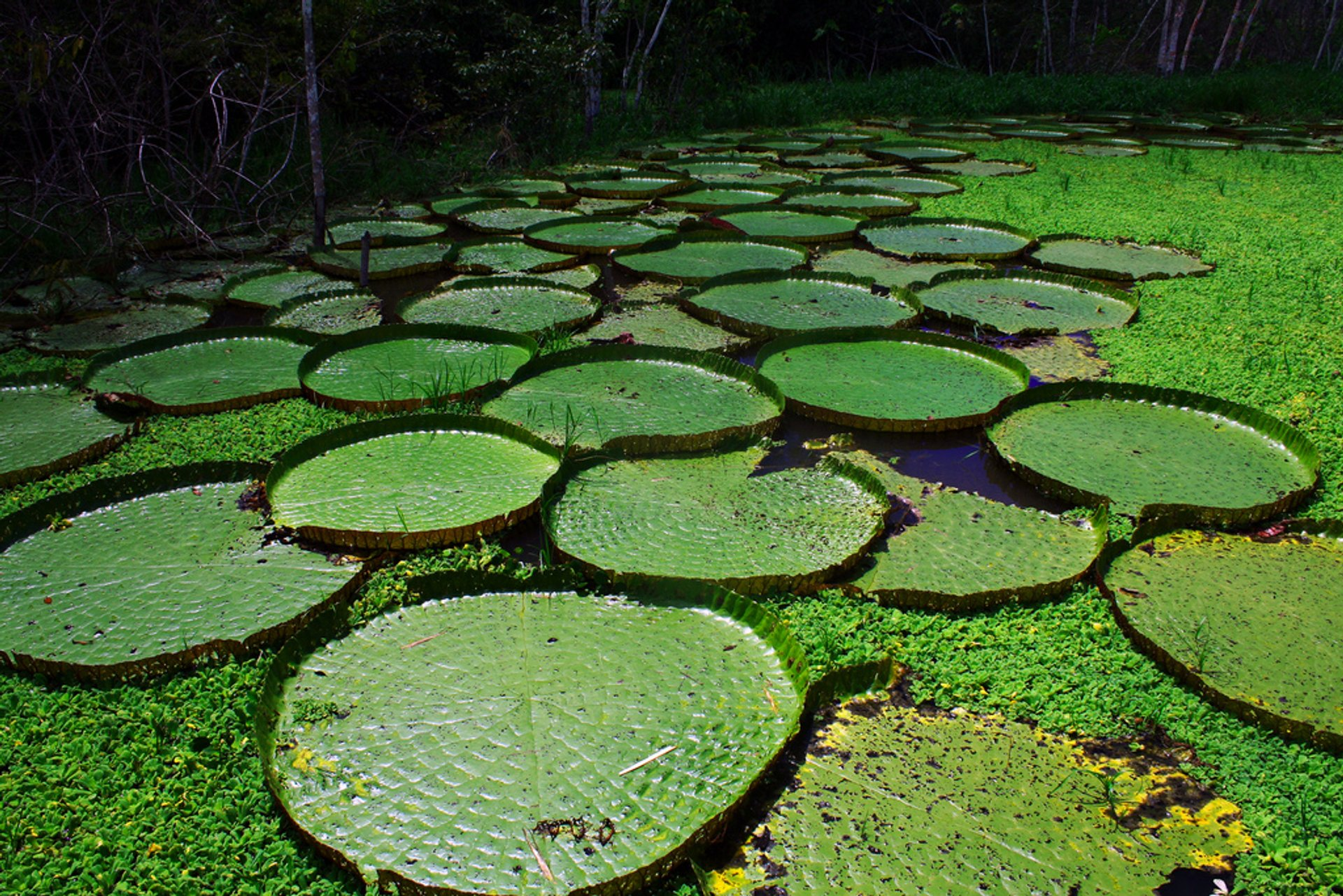 Victoria Amazonica in Brazil 2020 - Best Time