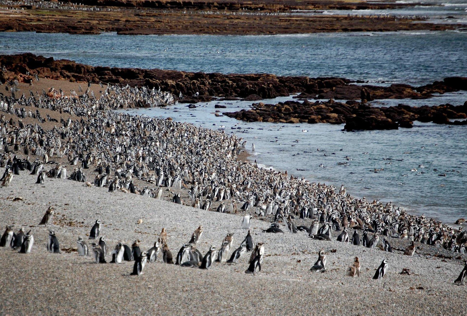 Punta Tomba Penguin Rookery 2020