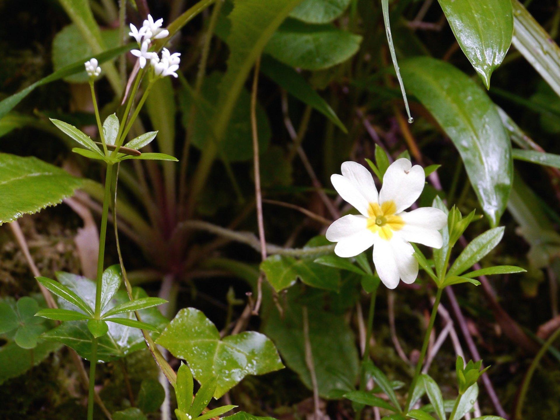 Primrose Blooming Season in Ireland 2020 - Best Time