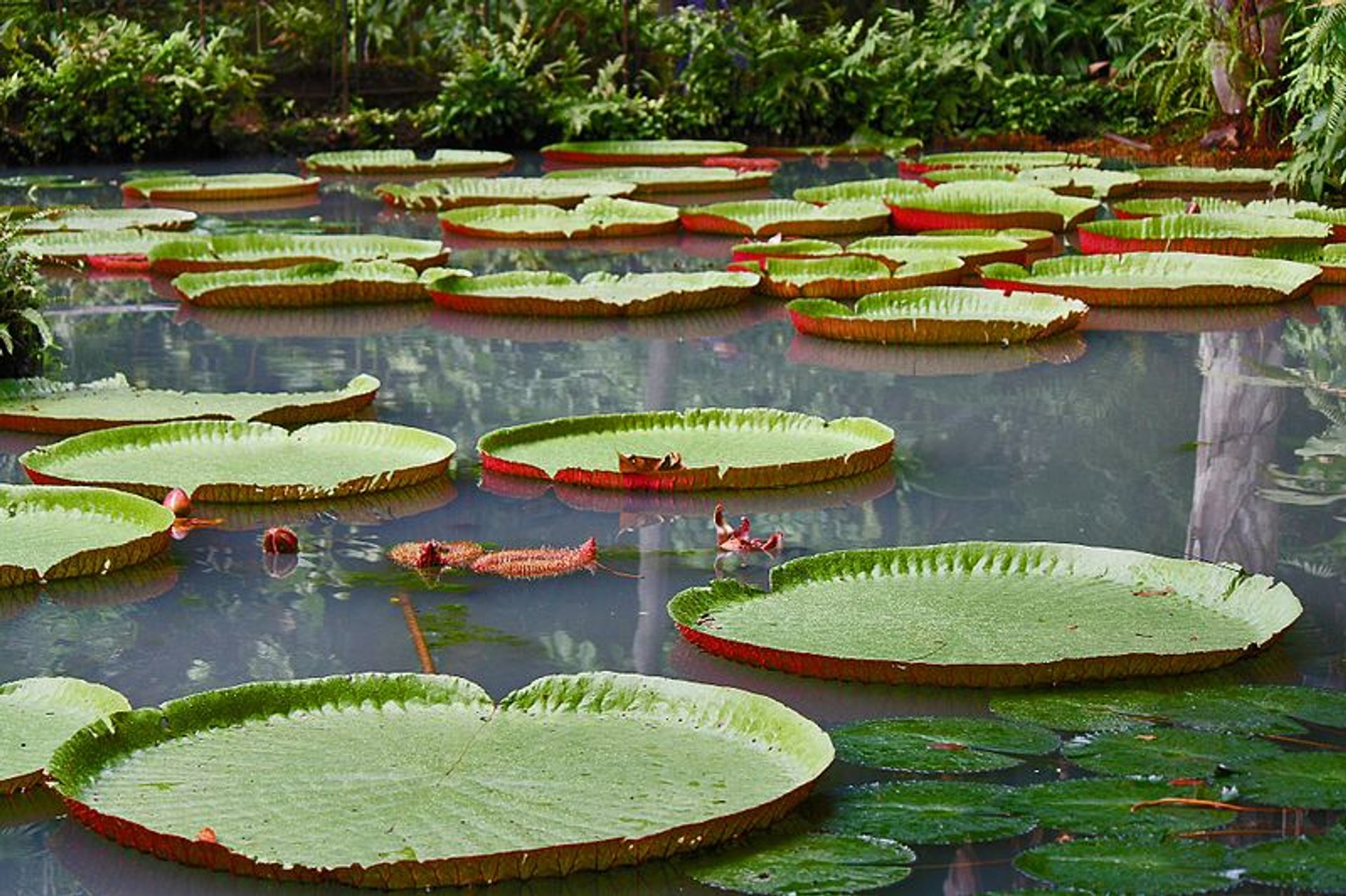 Victoria Amazonica in Brazil - Best Season 2020