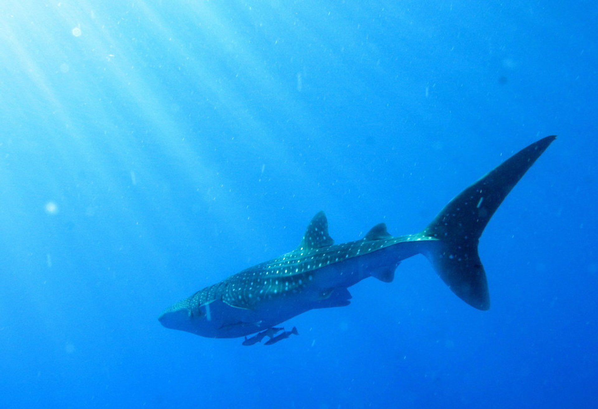 Whaleshark near Daedalus Reef, Red Sea 2020