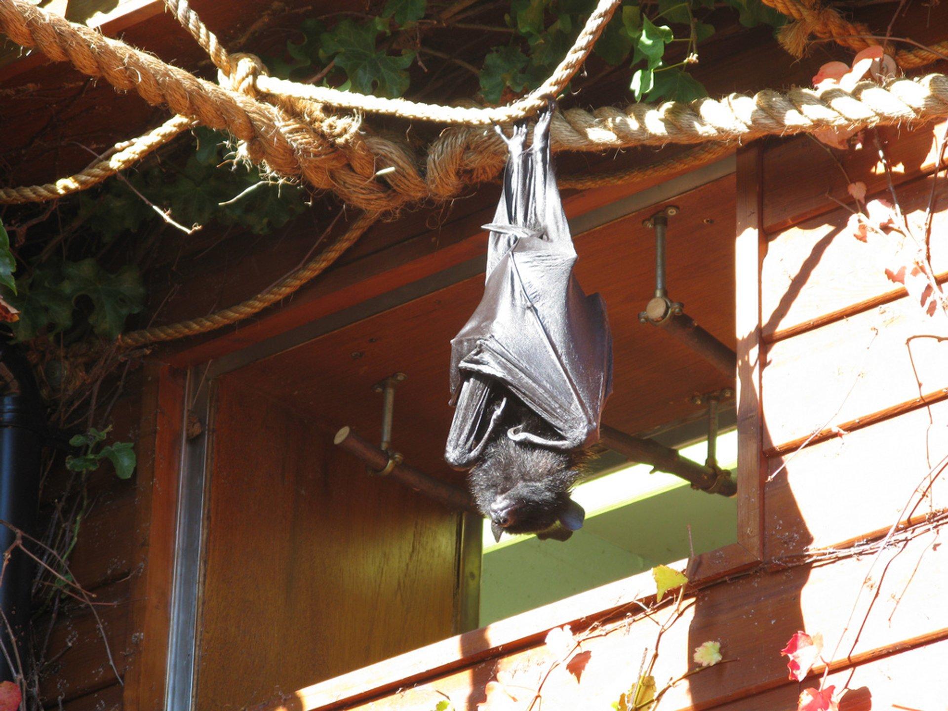 Bats Fluttering  in England - Best Season 2020