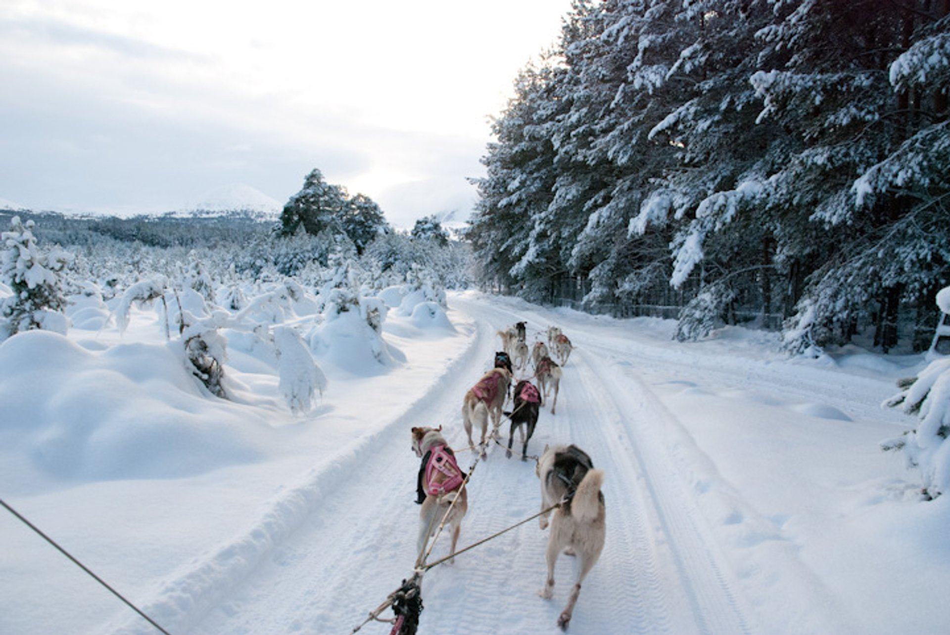 Dog Sledding in Scotland - Best Season 2019