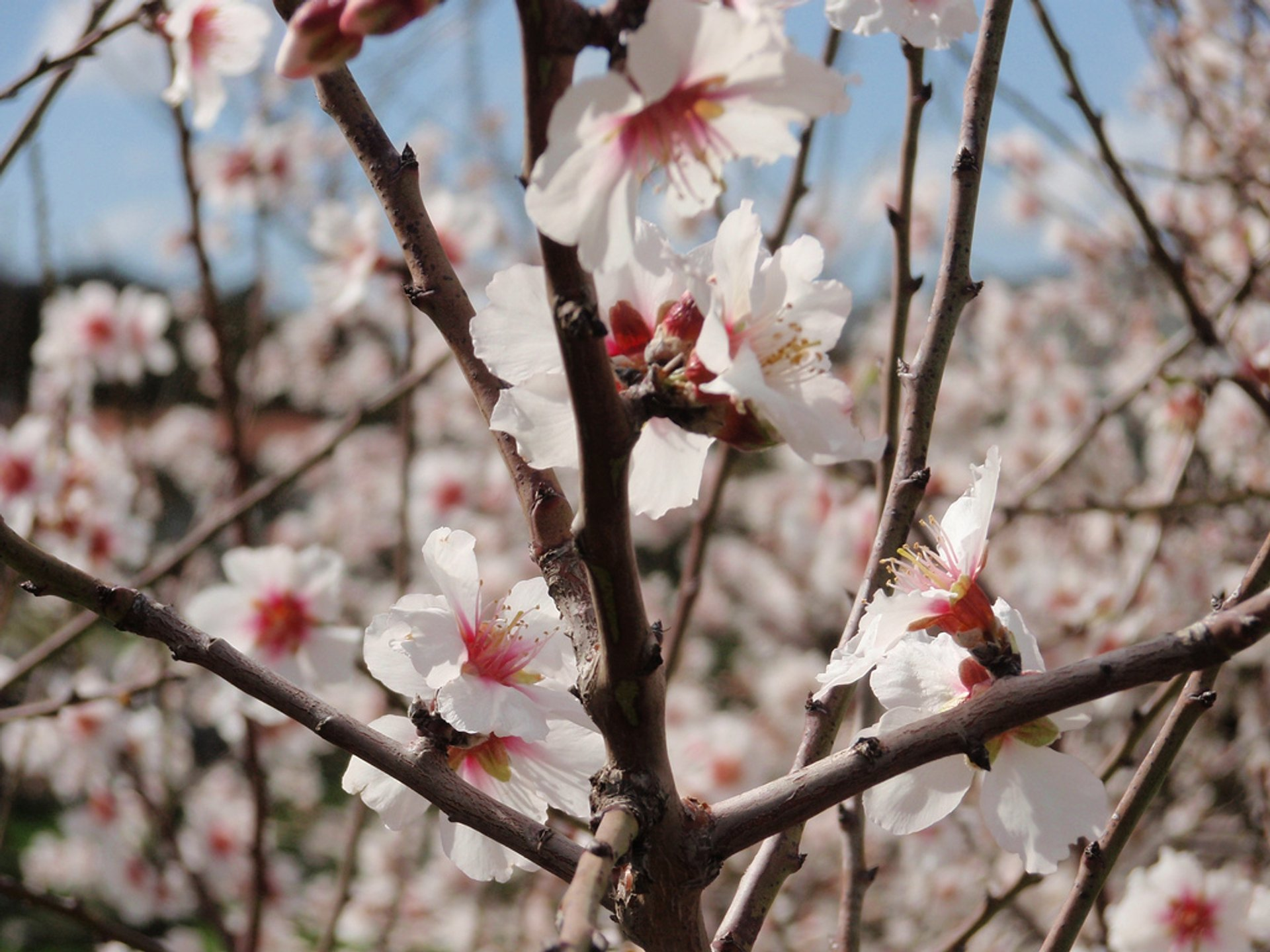 Almond Blossom in Israel - Best Time