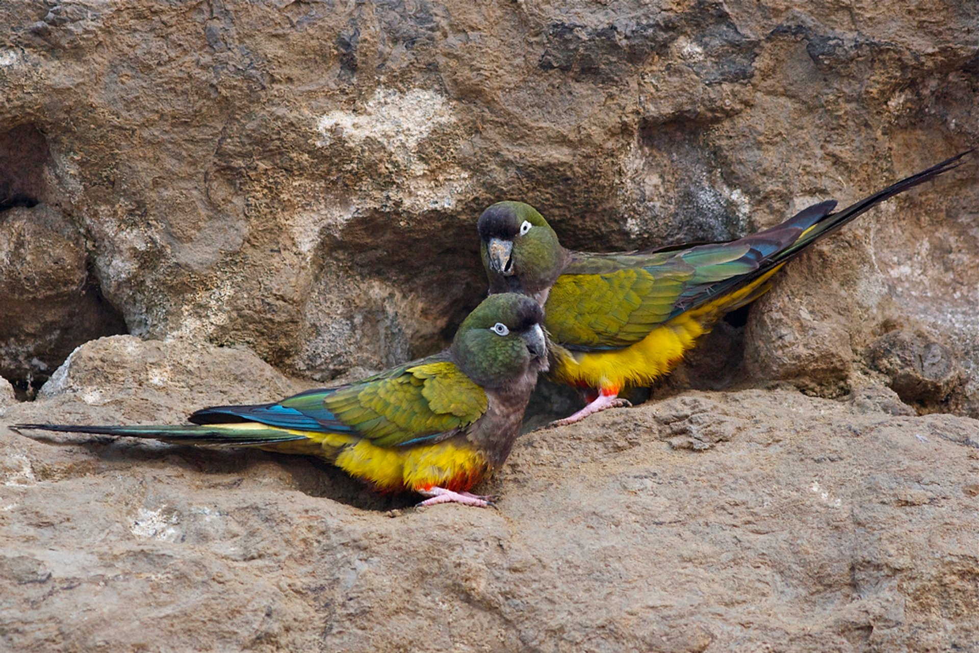 Best time for Burrowing Parrot Watching in Argentina 2020