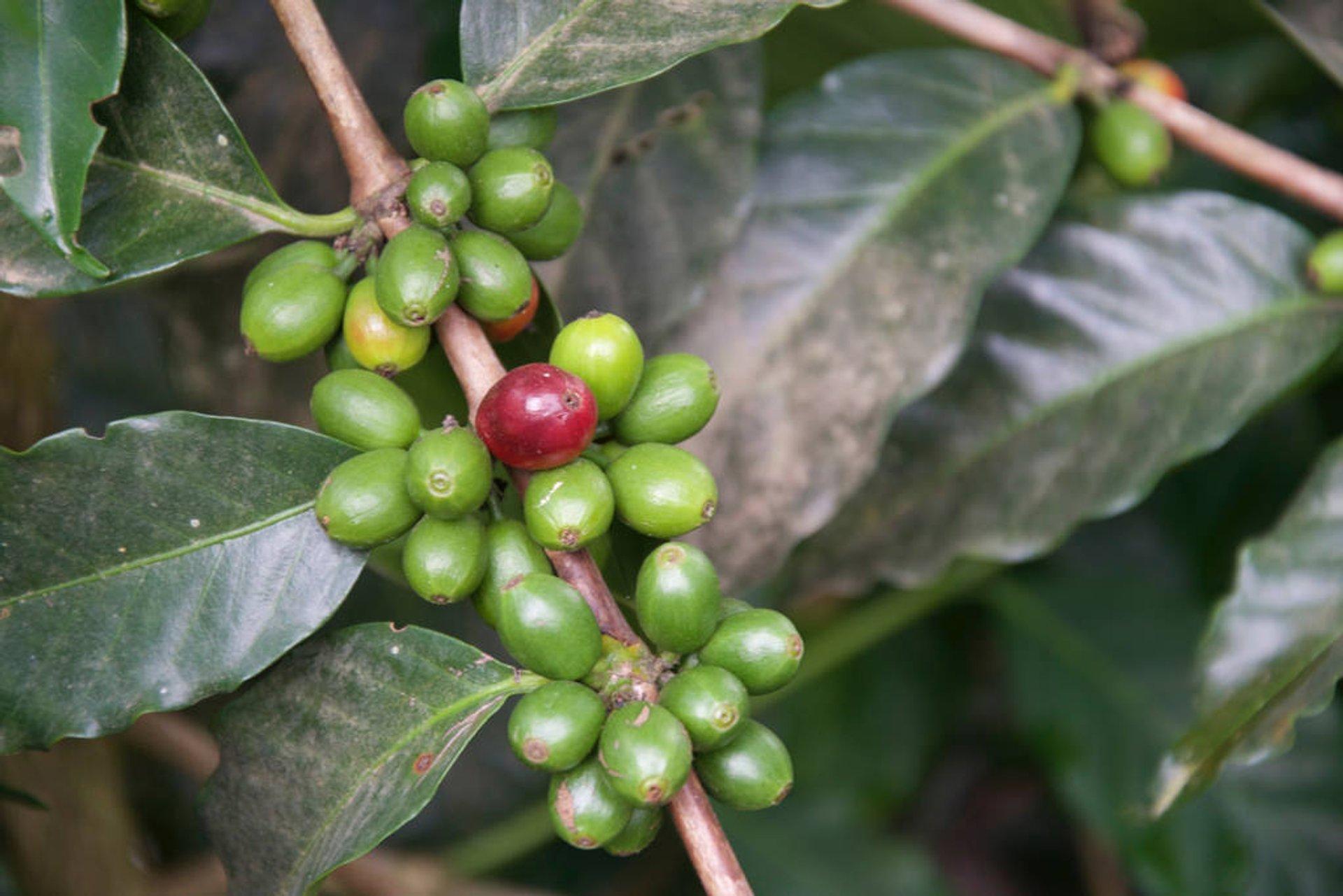 Coffee Harvest in Guatemala - Best Season 2020