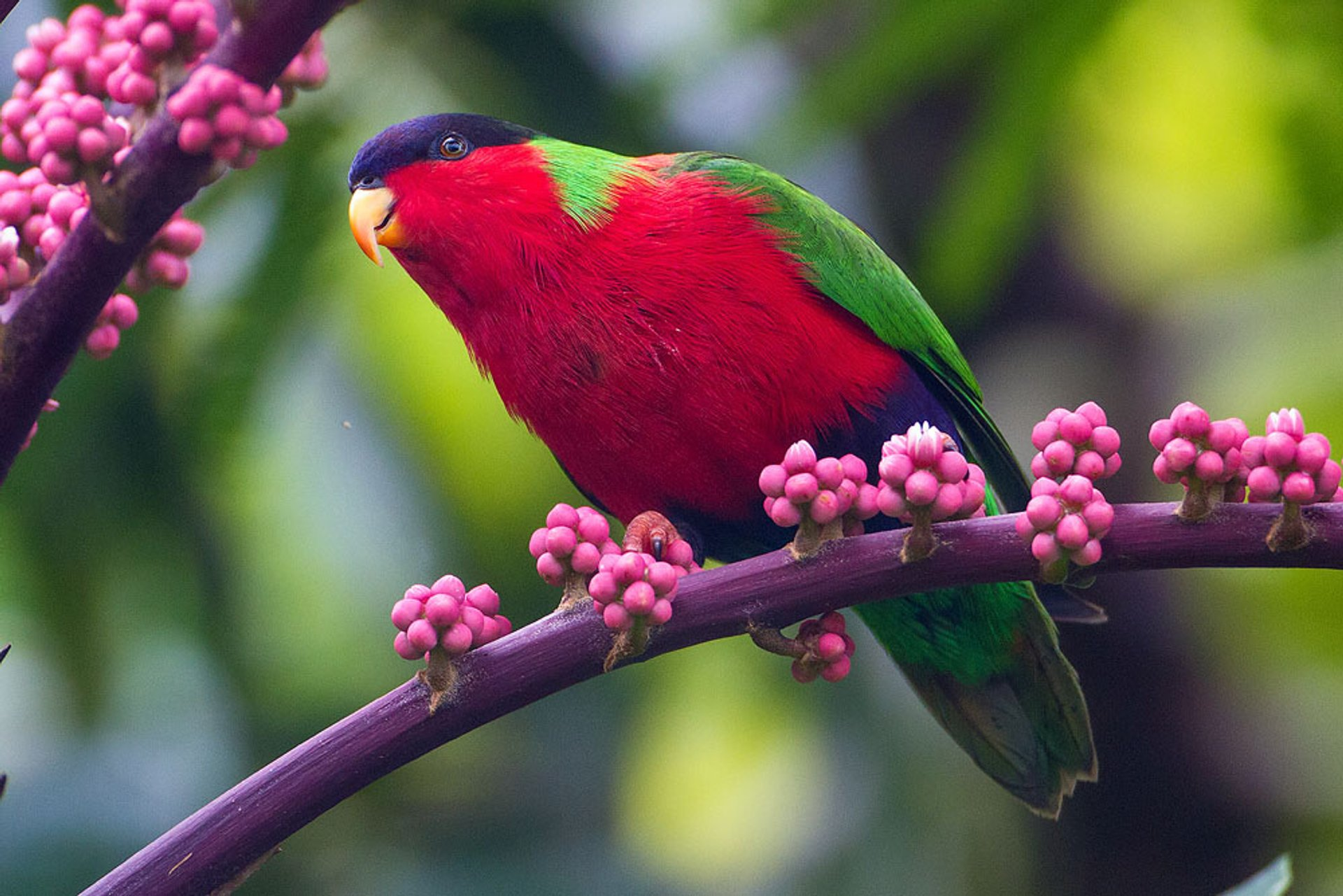 Collared Lory Breeding Season in Fiji - Best Season 2020