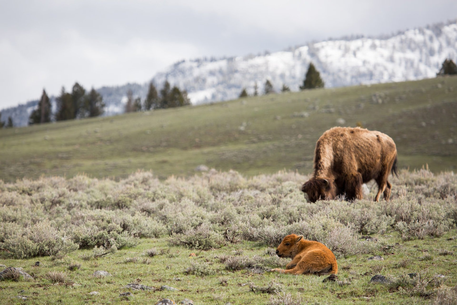 Best time to see Bison Mating Season in Yellowstone National Park 2020