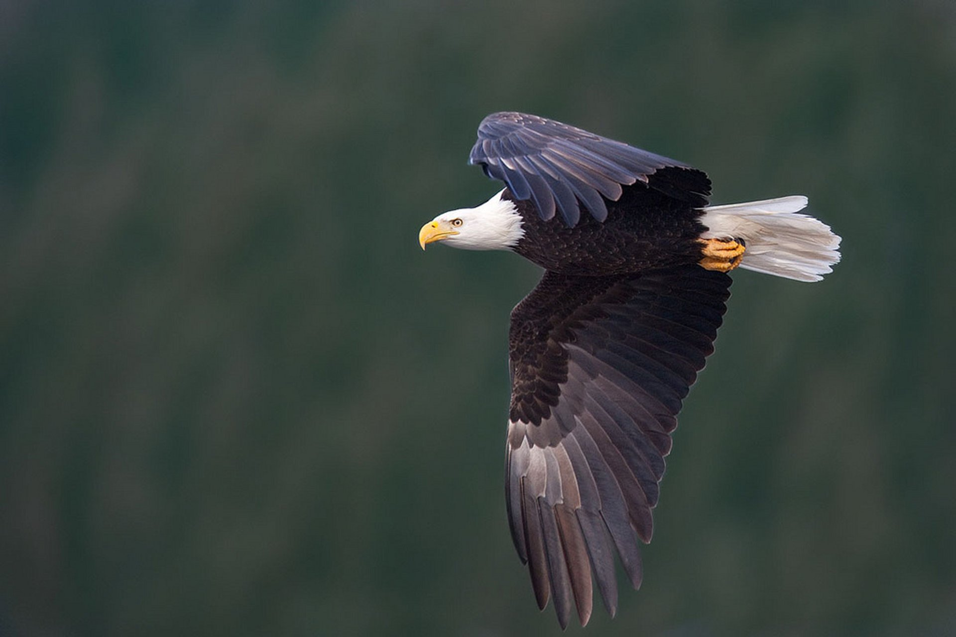 Bald Eagle 2020