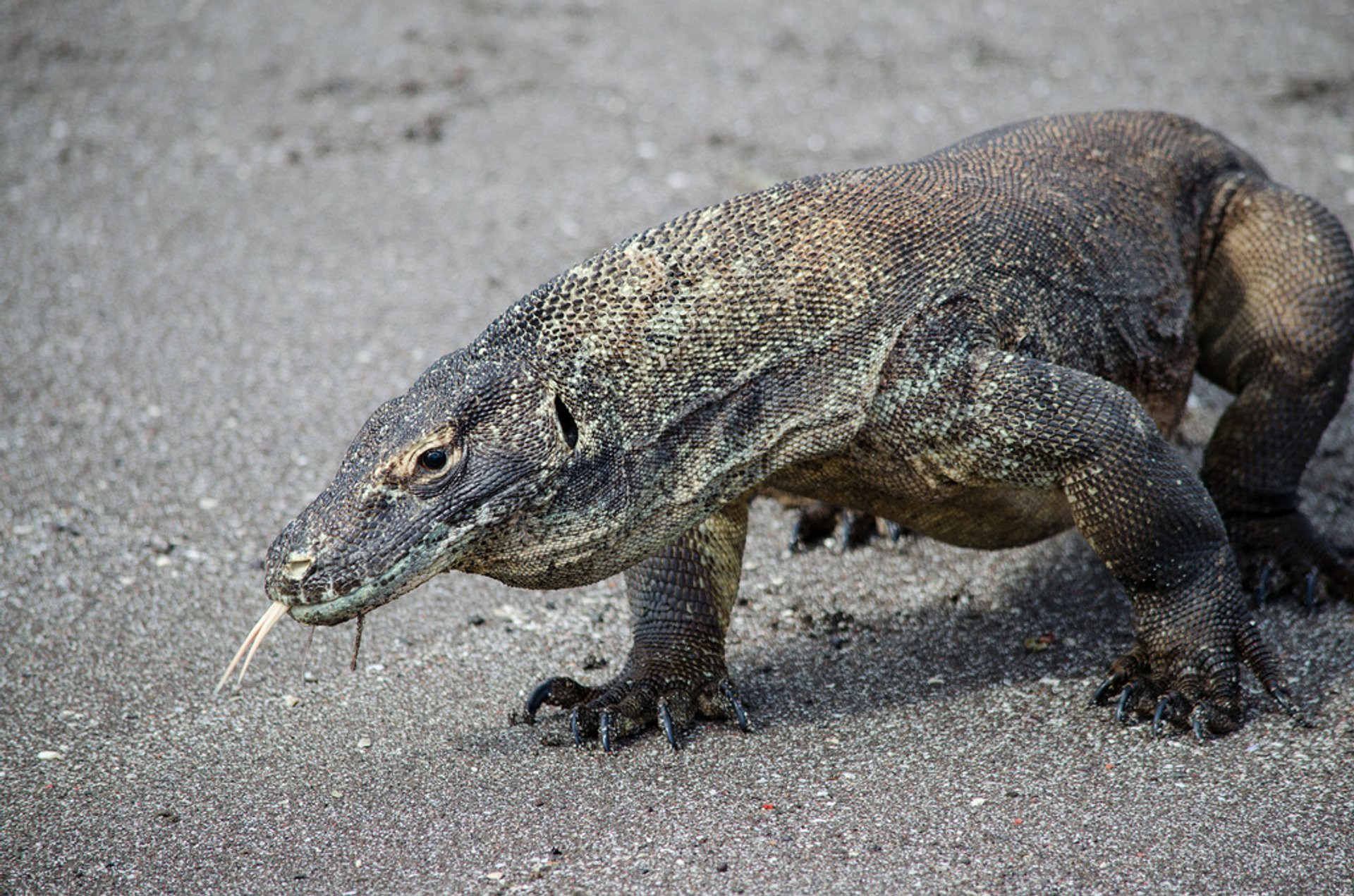 Komodo Dragon 2019