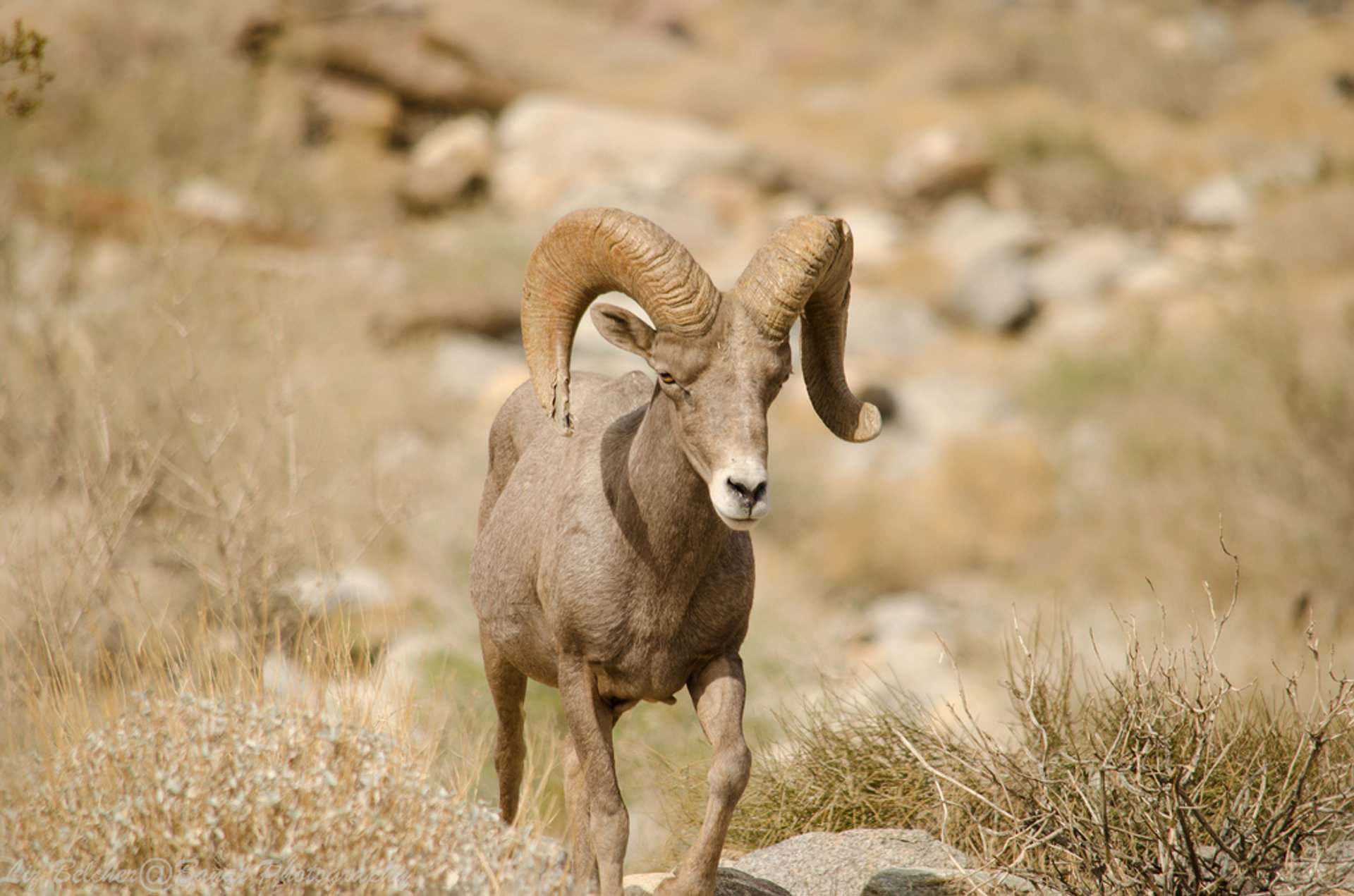 Big Horn Sheep in Los Angeles 2019 - Best Time
