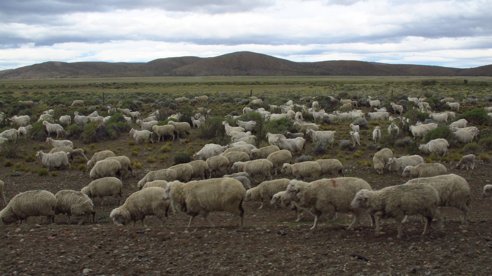 Best time to see Grazing Sheep in Patagonia 2020