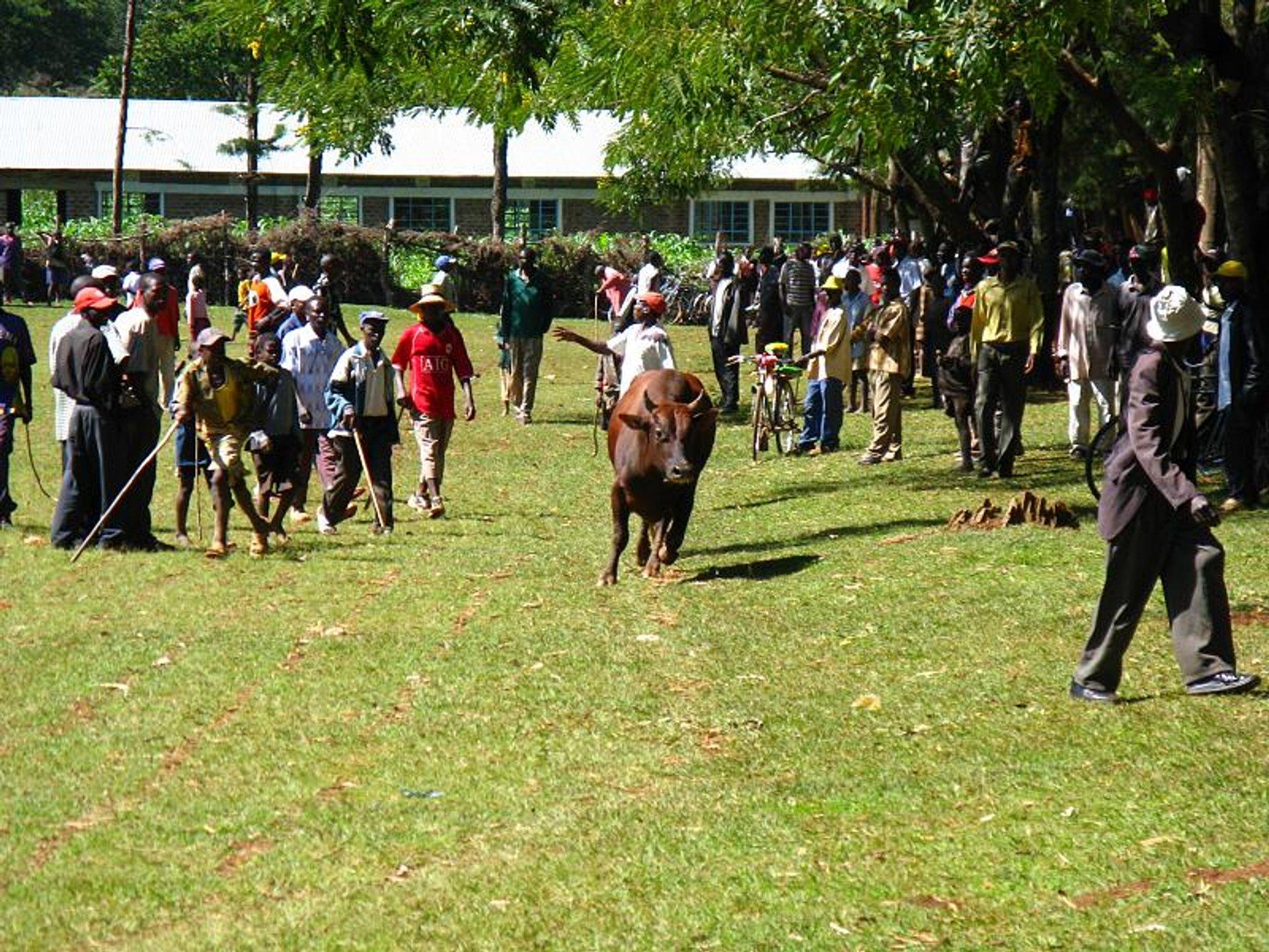 Bull Fighting Events in Kenya - Best Season 2020