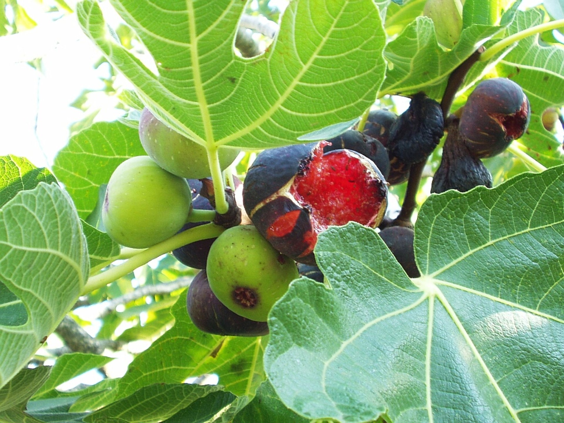 Wild Figs in Croatia 2020 - Best Time