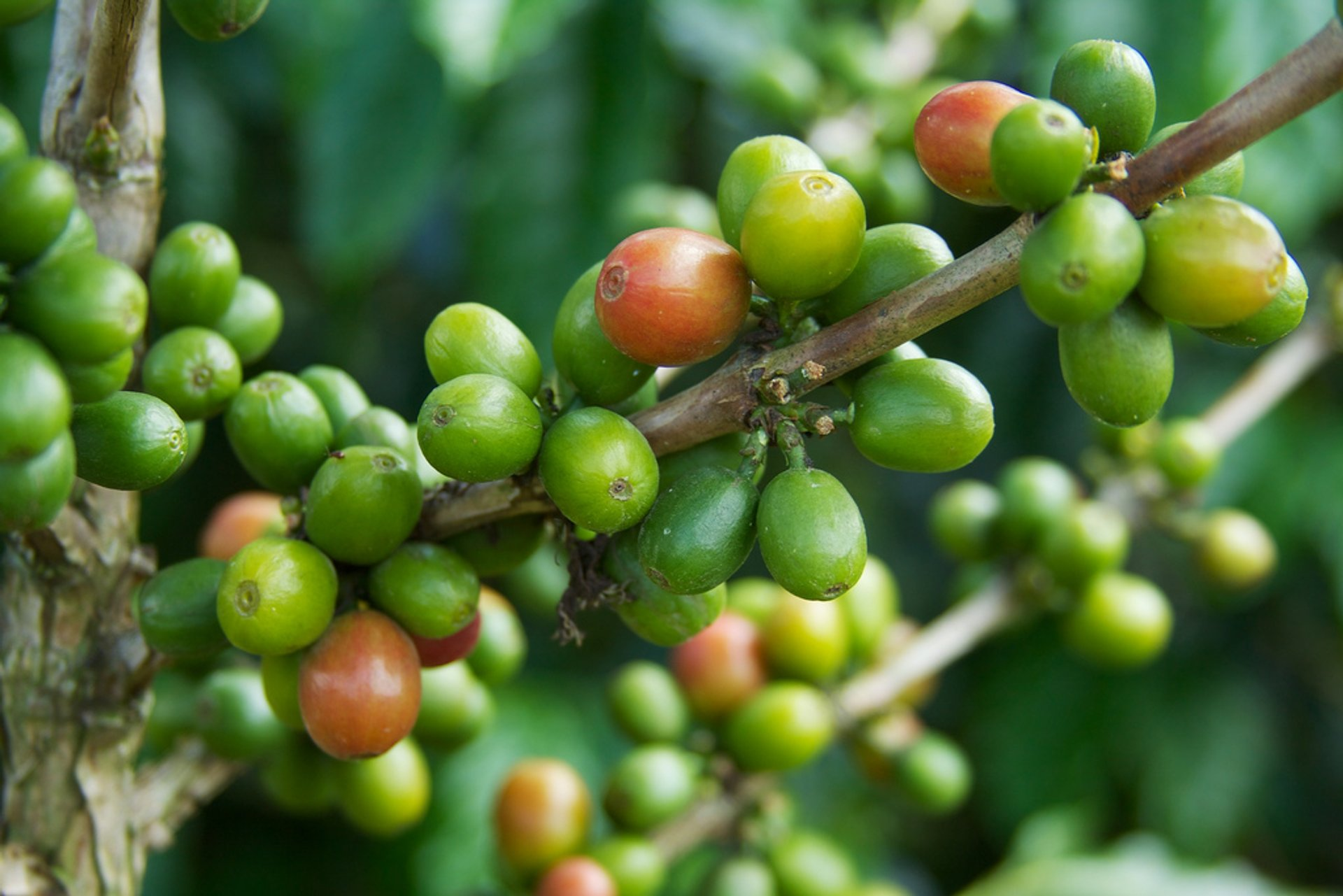Coffee Harvest in Colombia - Best Season 2020